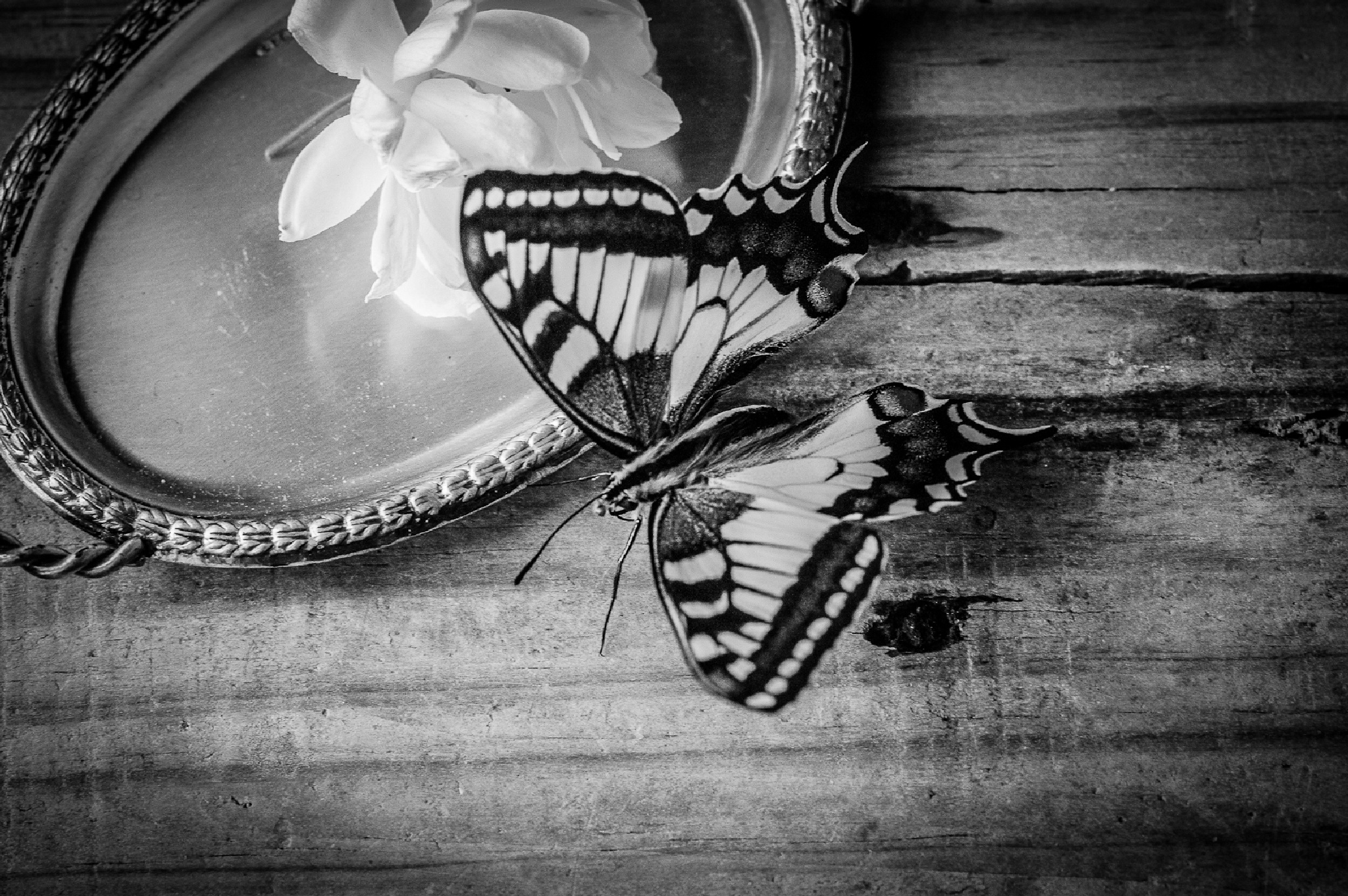 butterfly still life by Angelo Petrozza