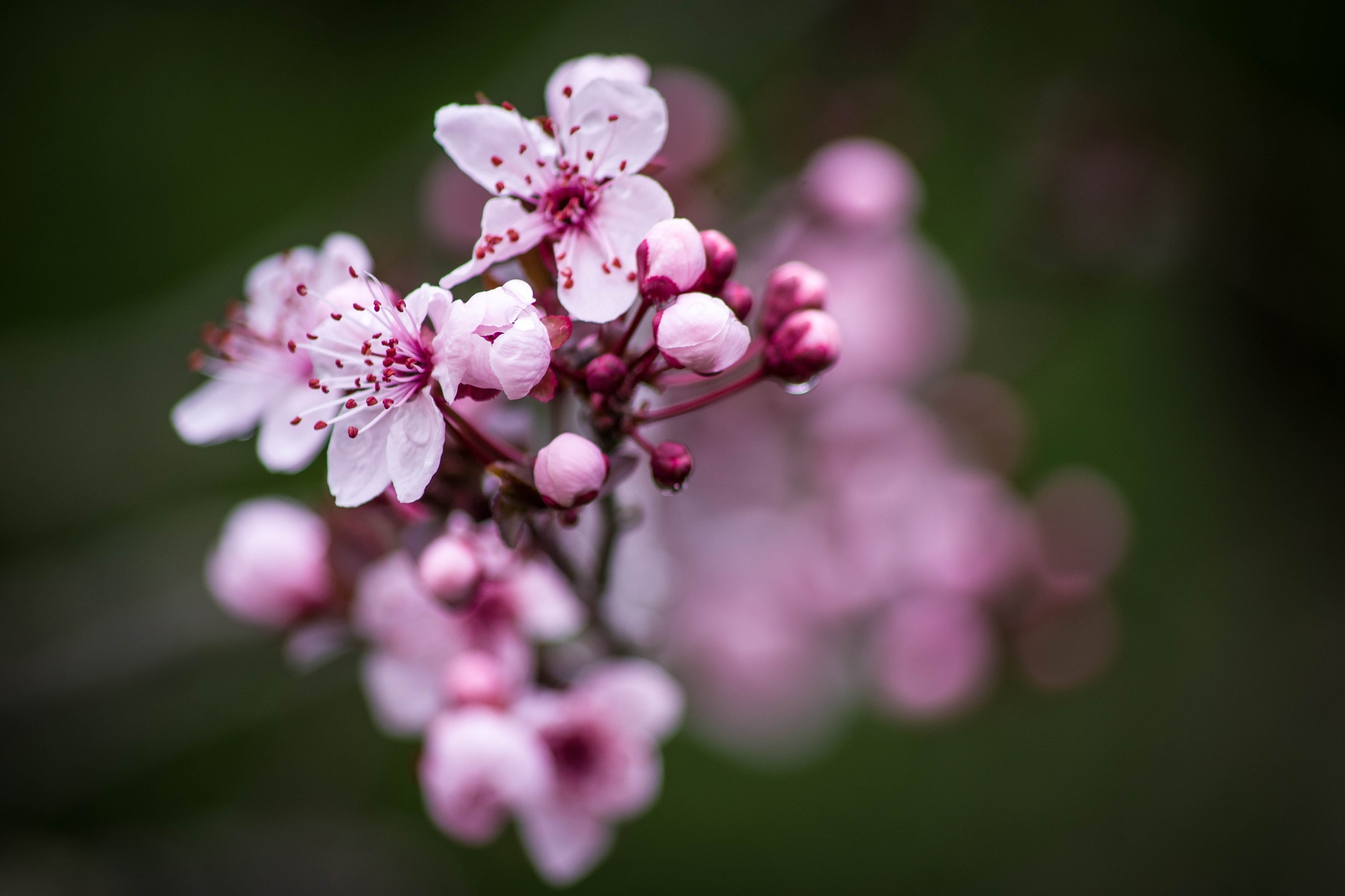 blossom... by Angelo Petrozza