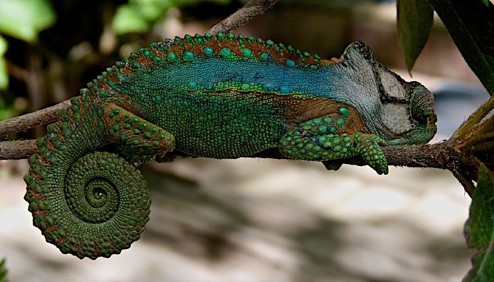 Chameleon by sandybrady