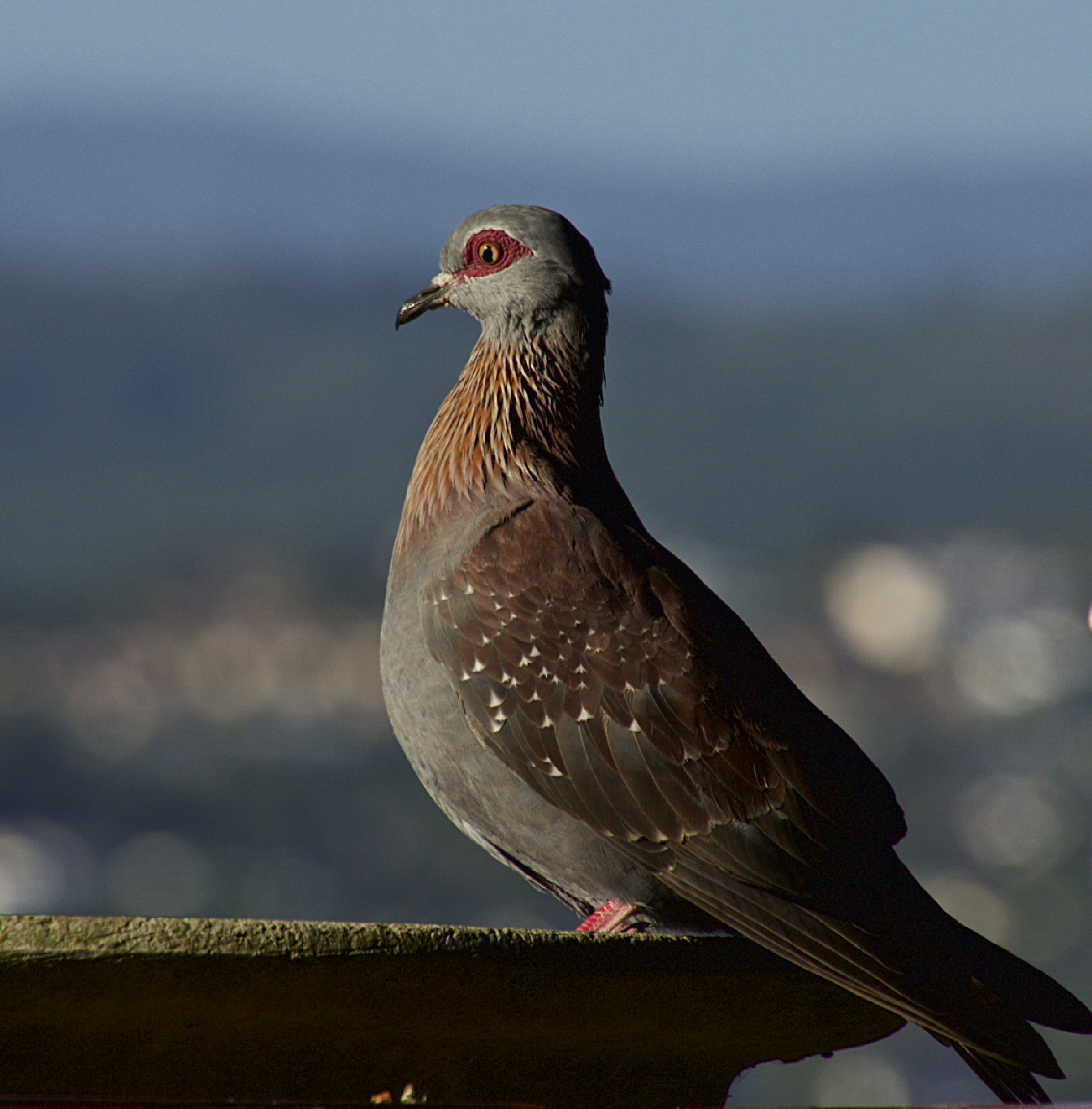 Pigeon by sandybrady