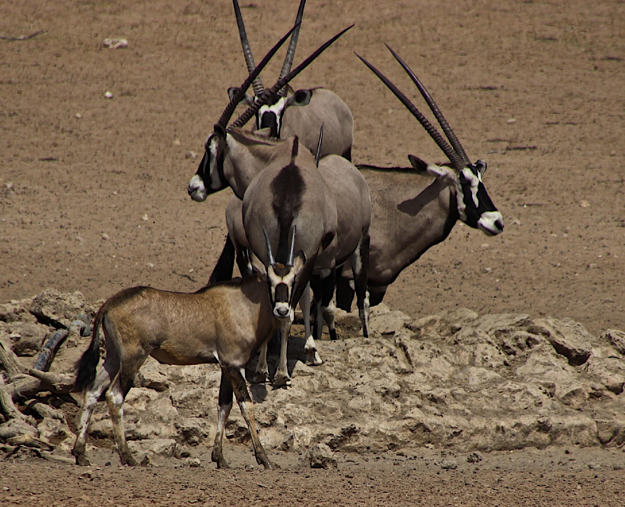 Oryx in the Kalahari by sandybrady