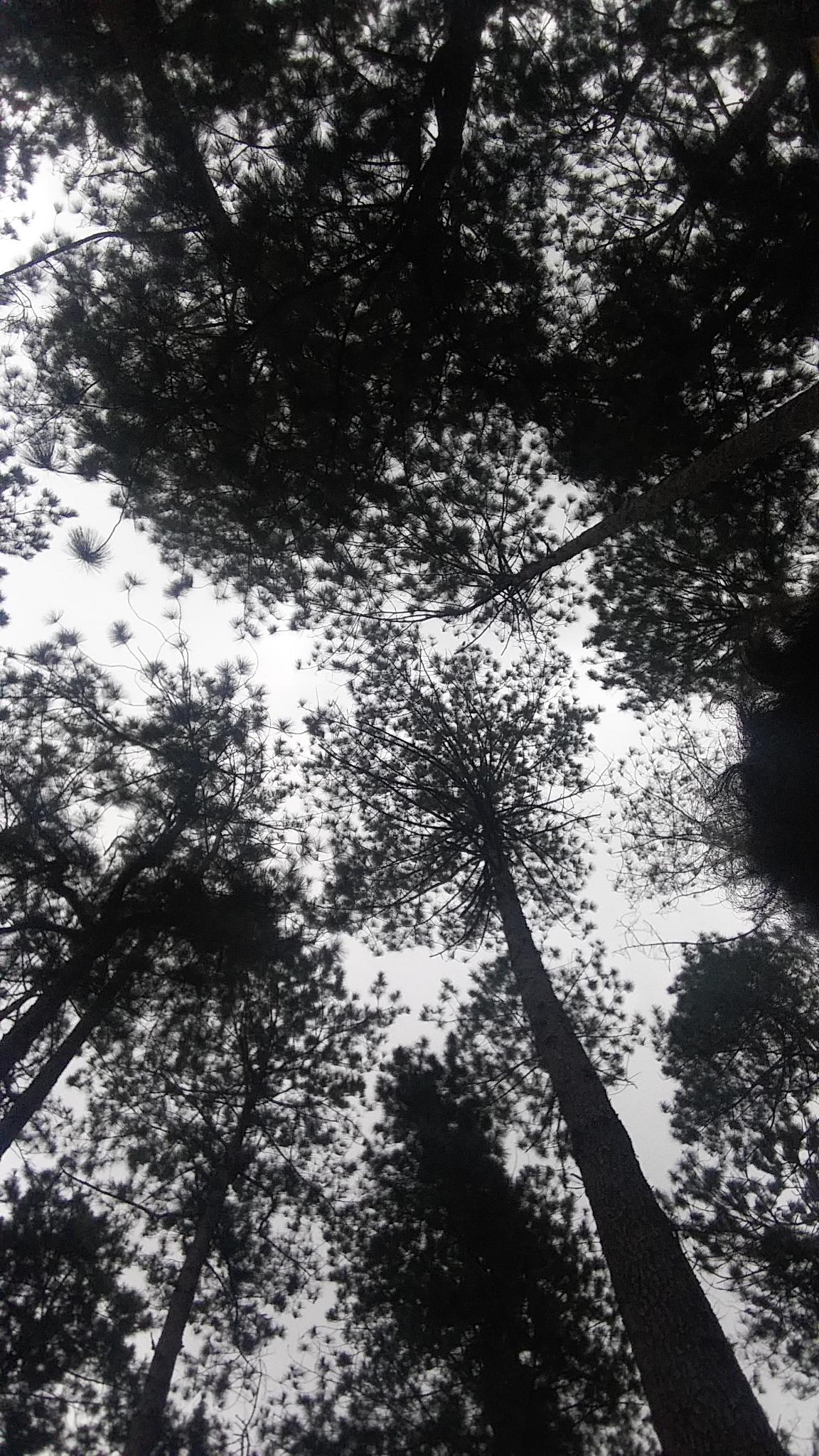 Pine by johnNIELDANAO