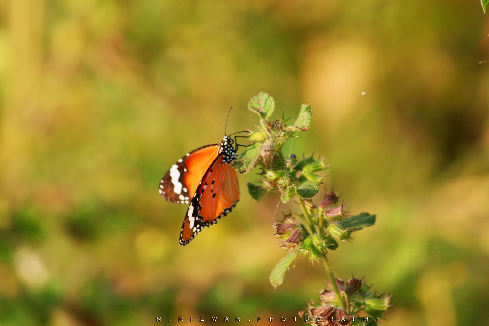 Der Schmetterling! by Rizwan