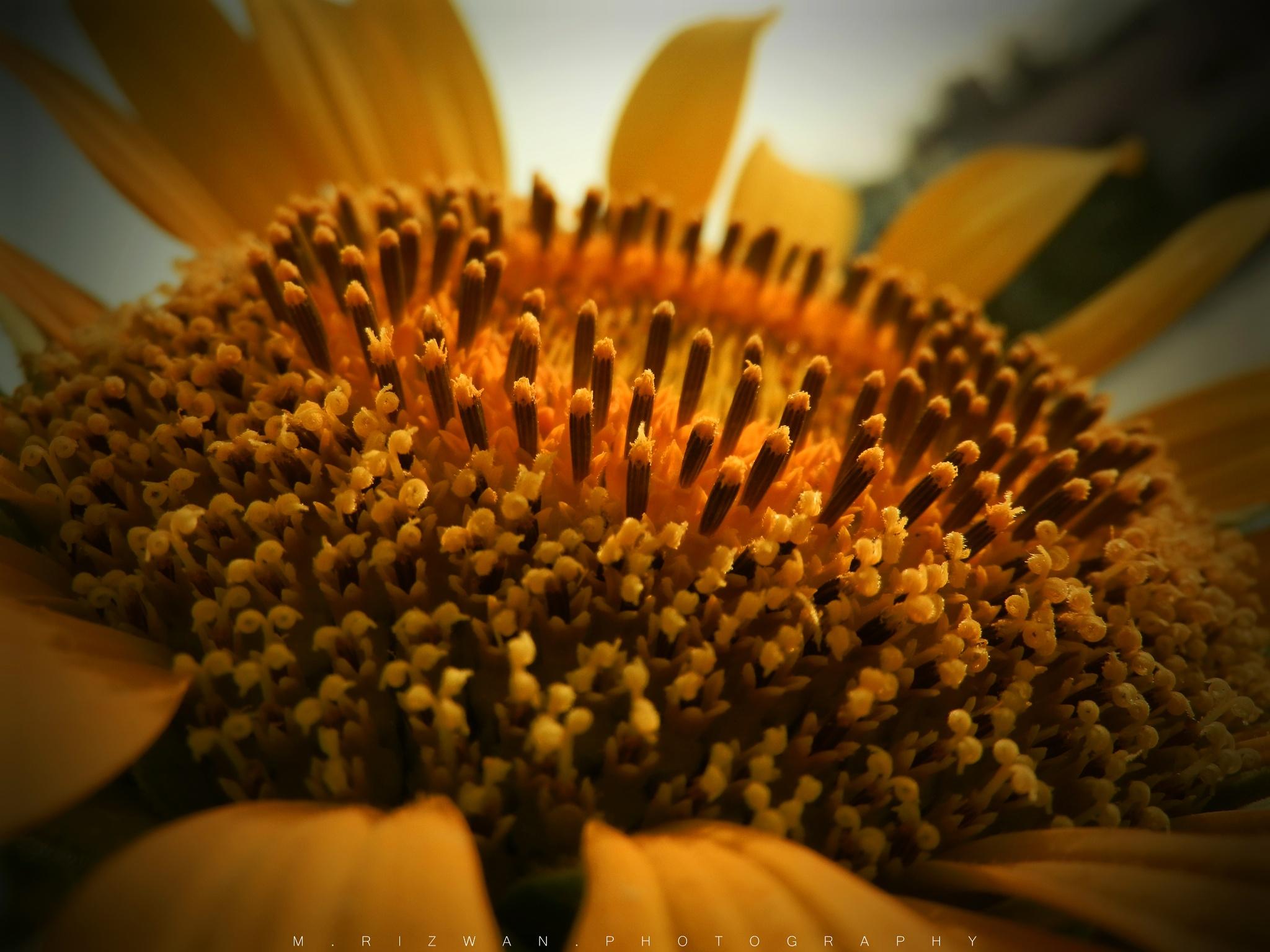 Sunflower by Rizwan