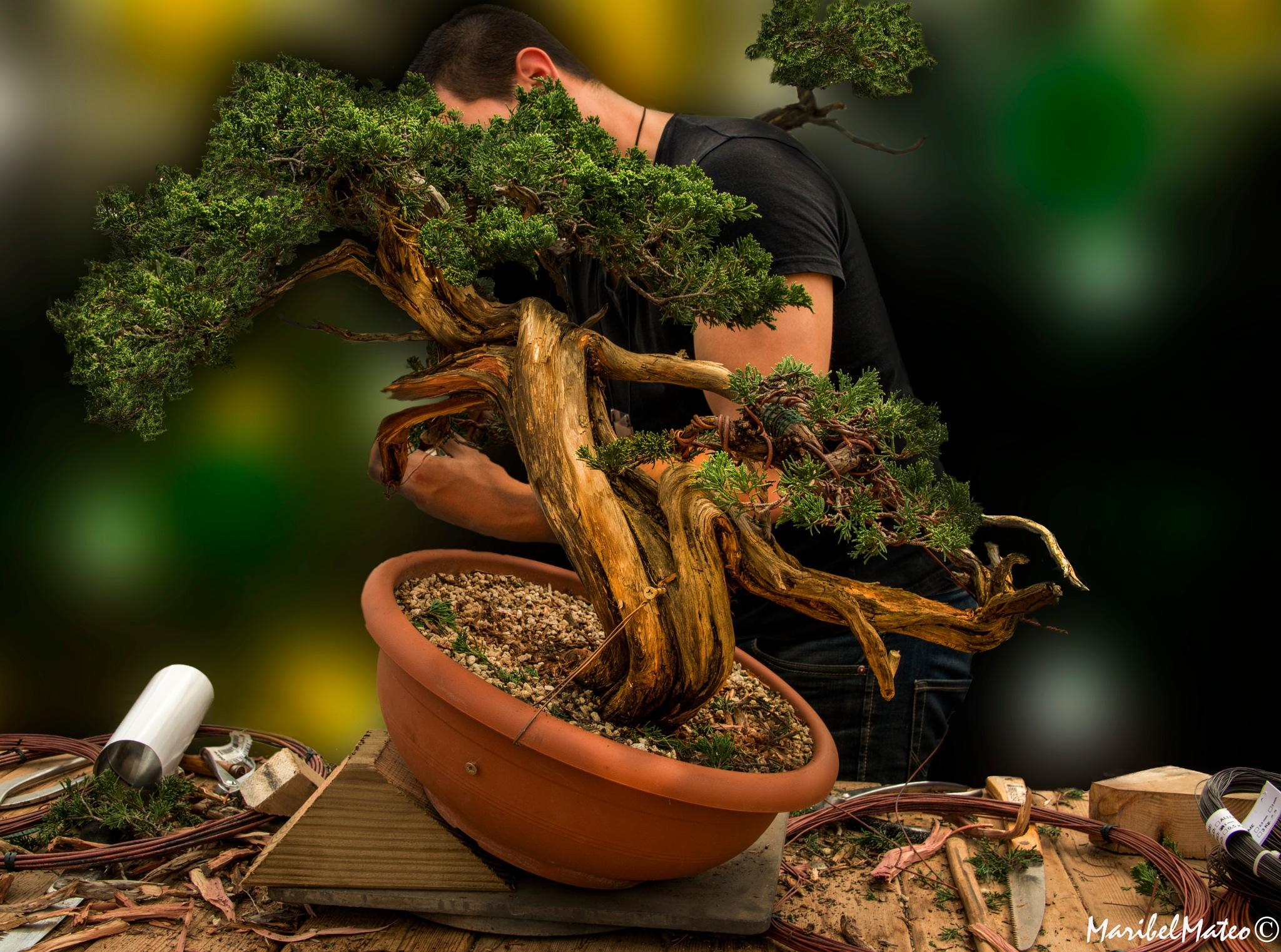 Photo in Still Life #sabina #teacher #class #bonsai #prebonsai #tree #old