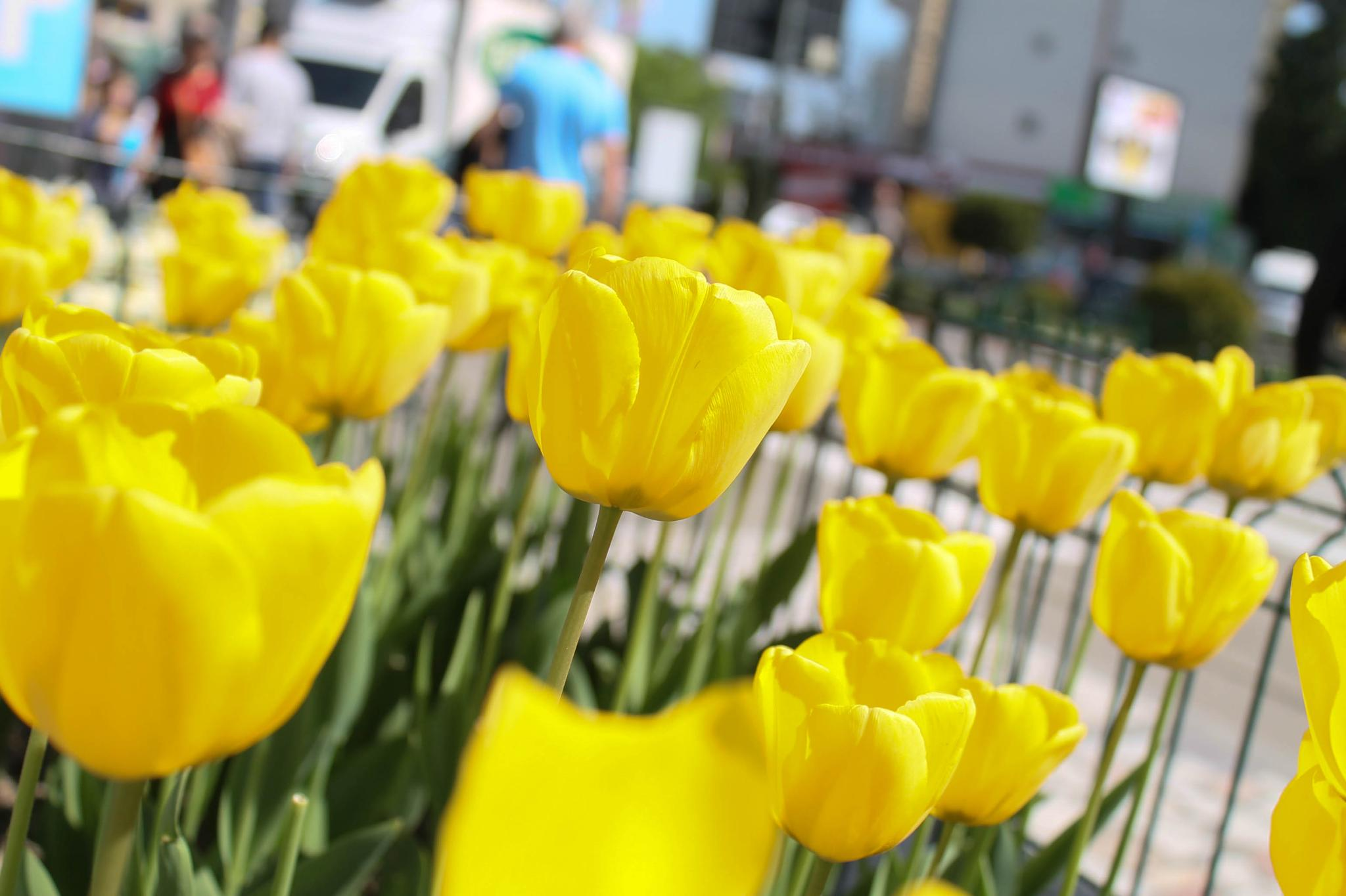 Tulips by lmarin67