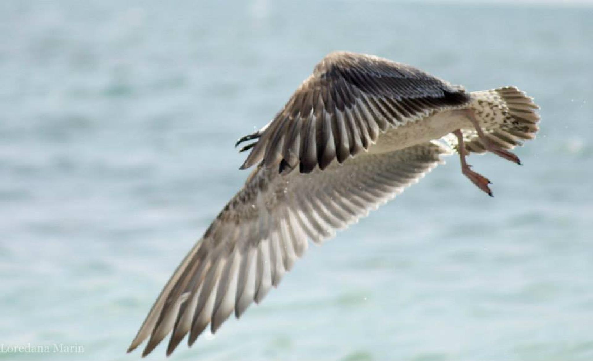 Seagull by lmarin67