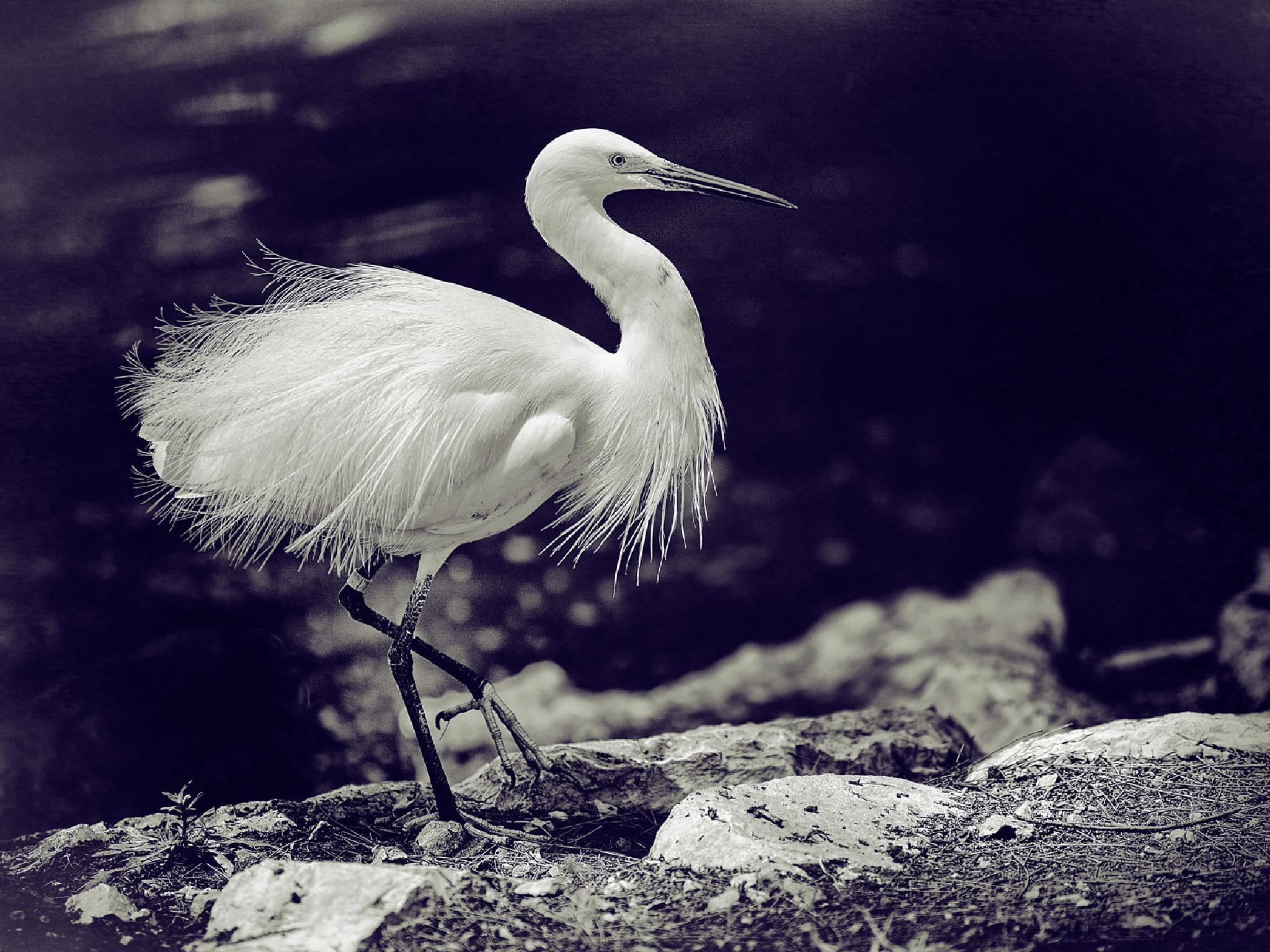 Little Egret by aron.gershon