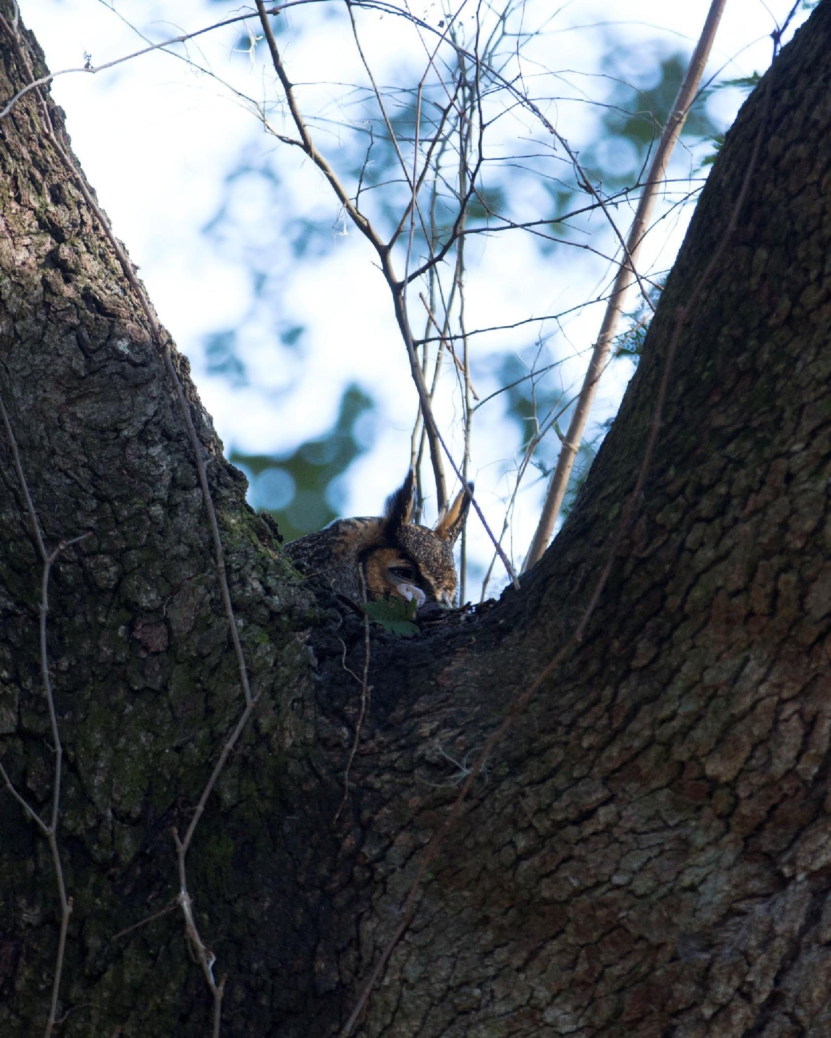 Nesting Owl by lynchjw