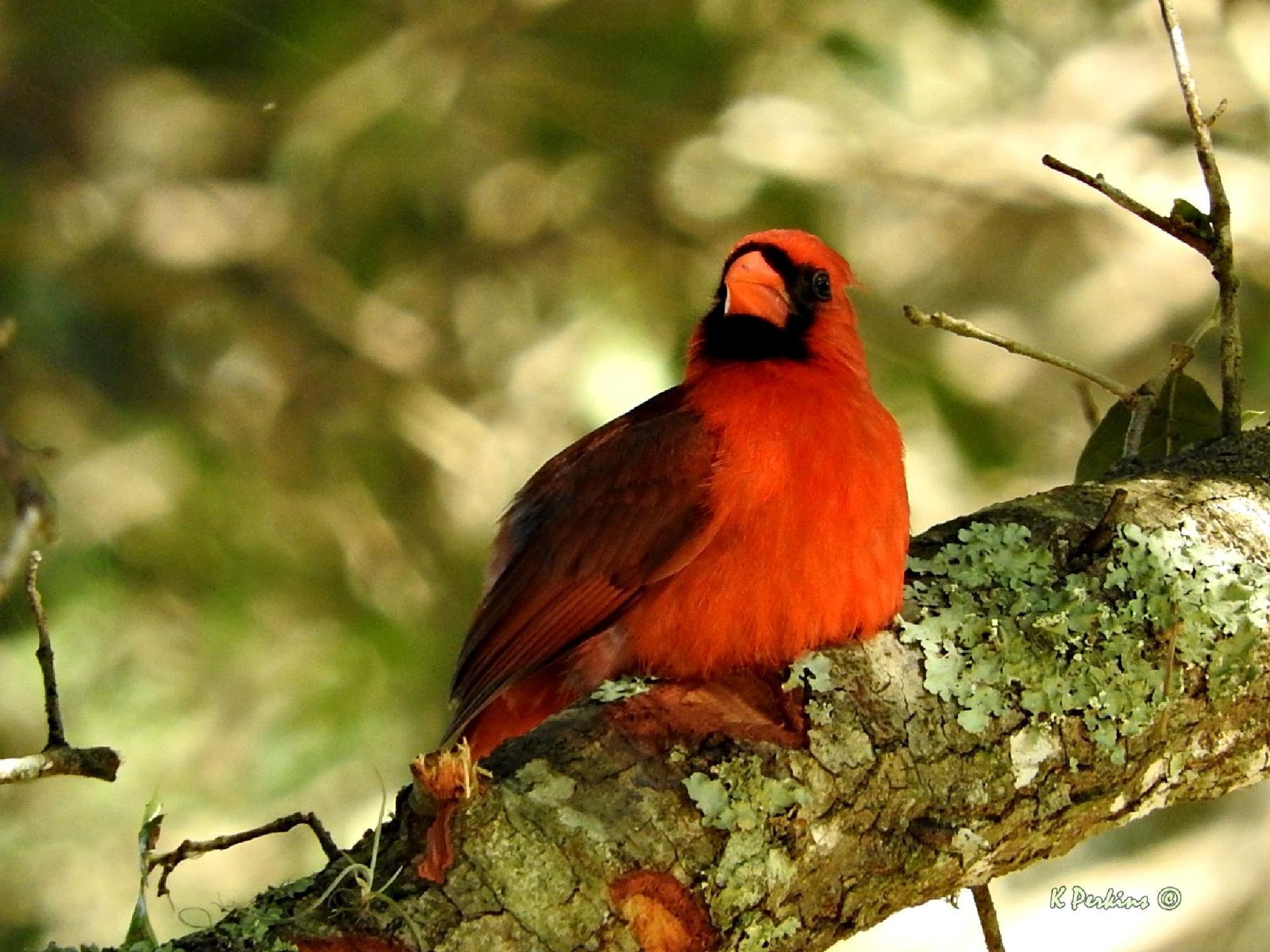 Northern Cardinal - Male by Karen Franklin Perkins