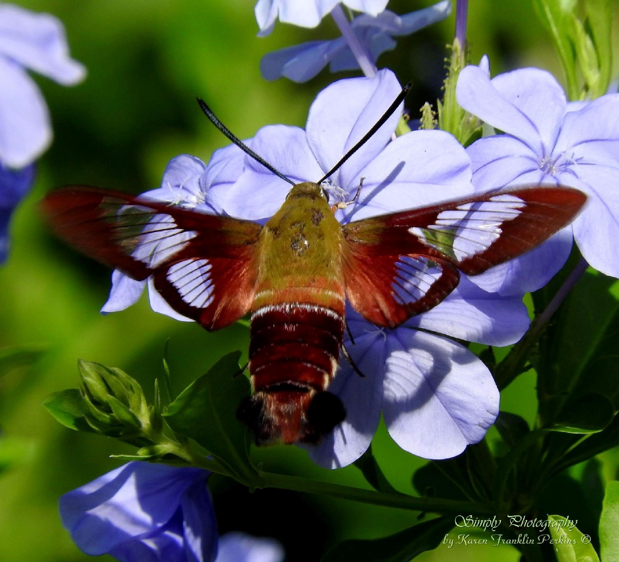 Clearwing Hummingbird Moth by Karen Franklin Perkins
