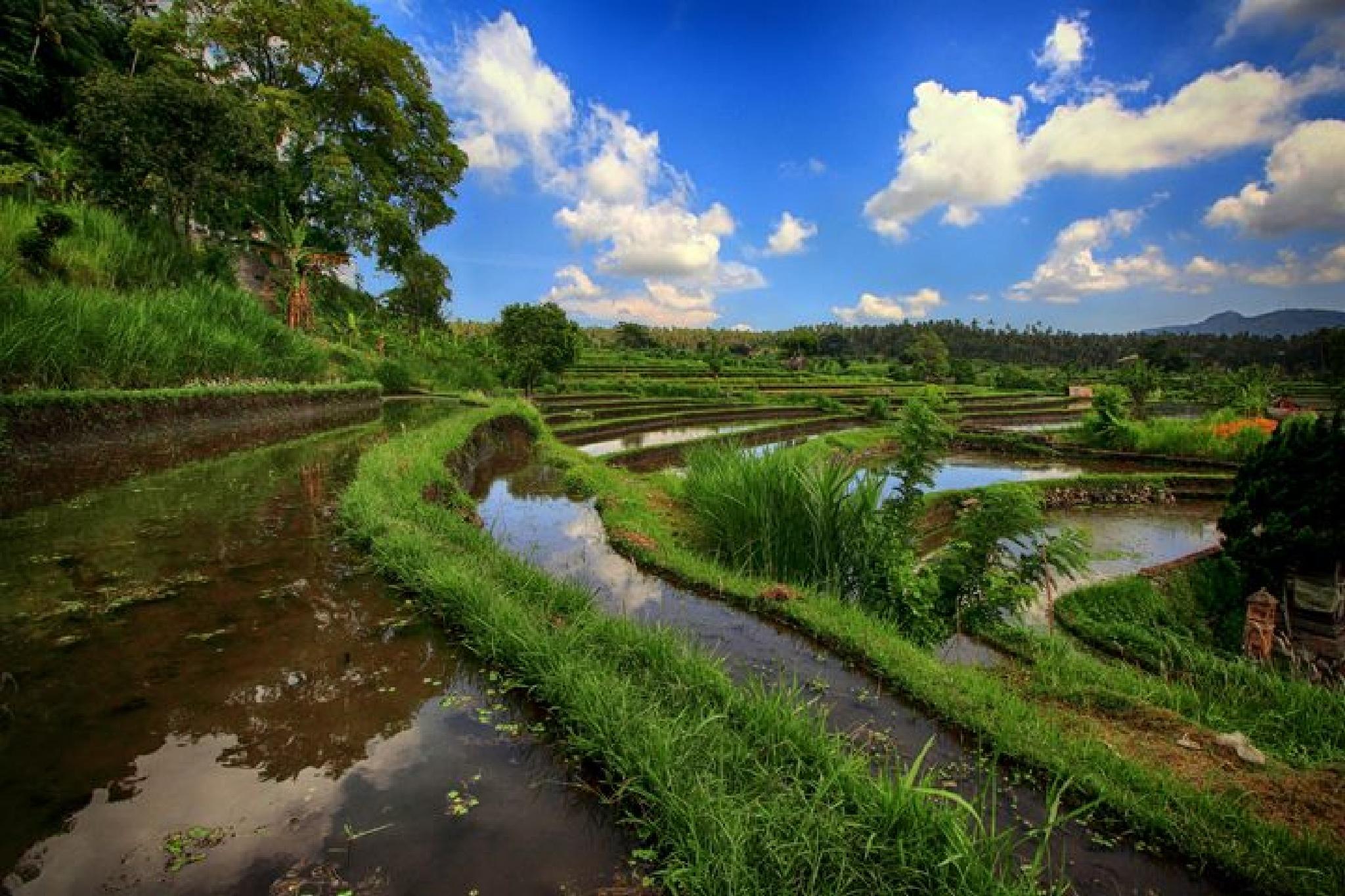 Rice field by Maras