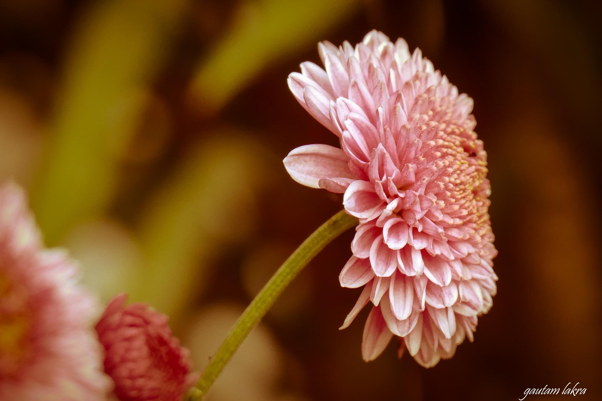 In bloom  by gautamlakra