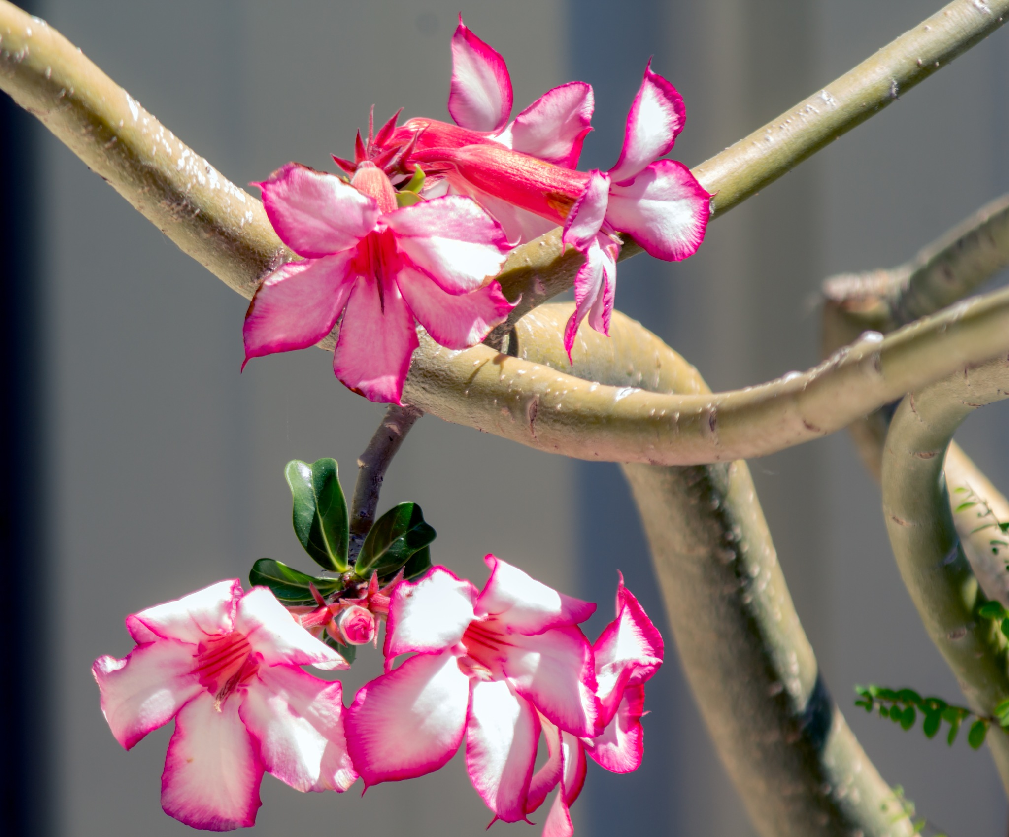 Desert Rose Flower by Trevor Smart