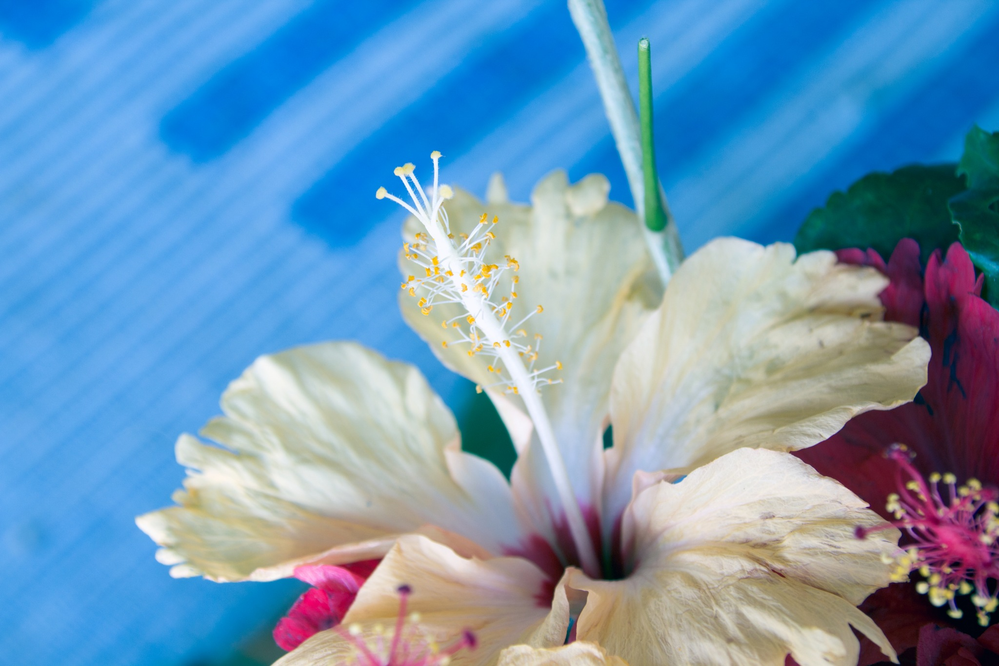 White hibiscus flower by Trevor Smart