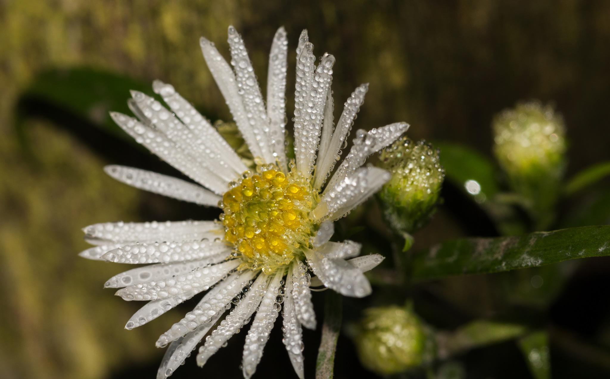 daisy in morning dew by Elena Krauze