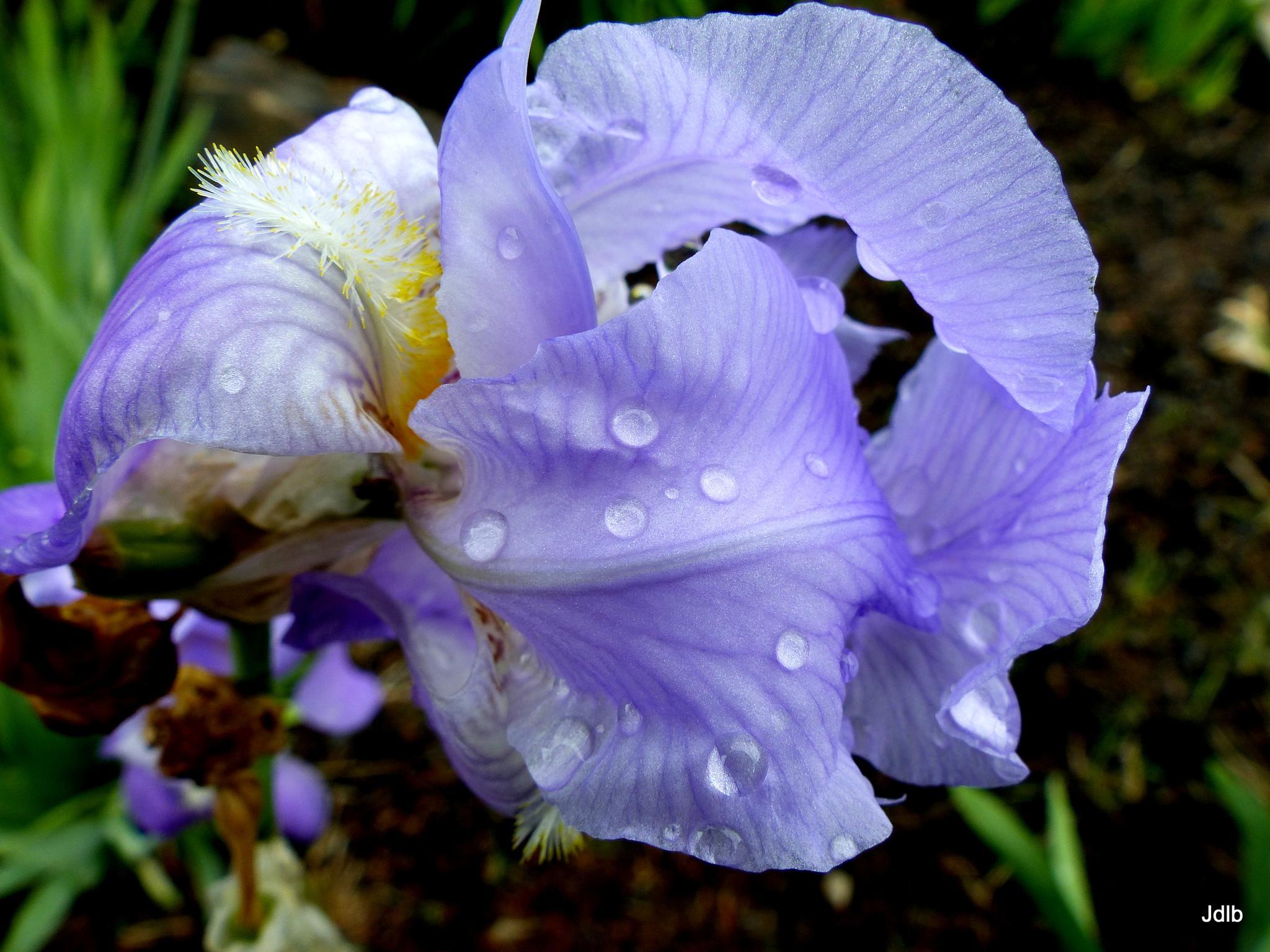 The Softness of Purple  by jodelabruere