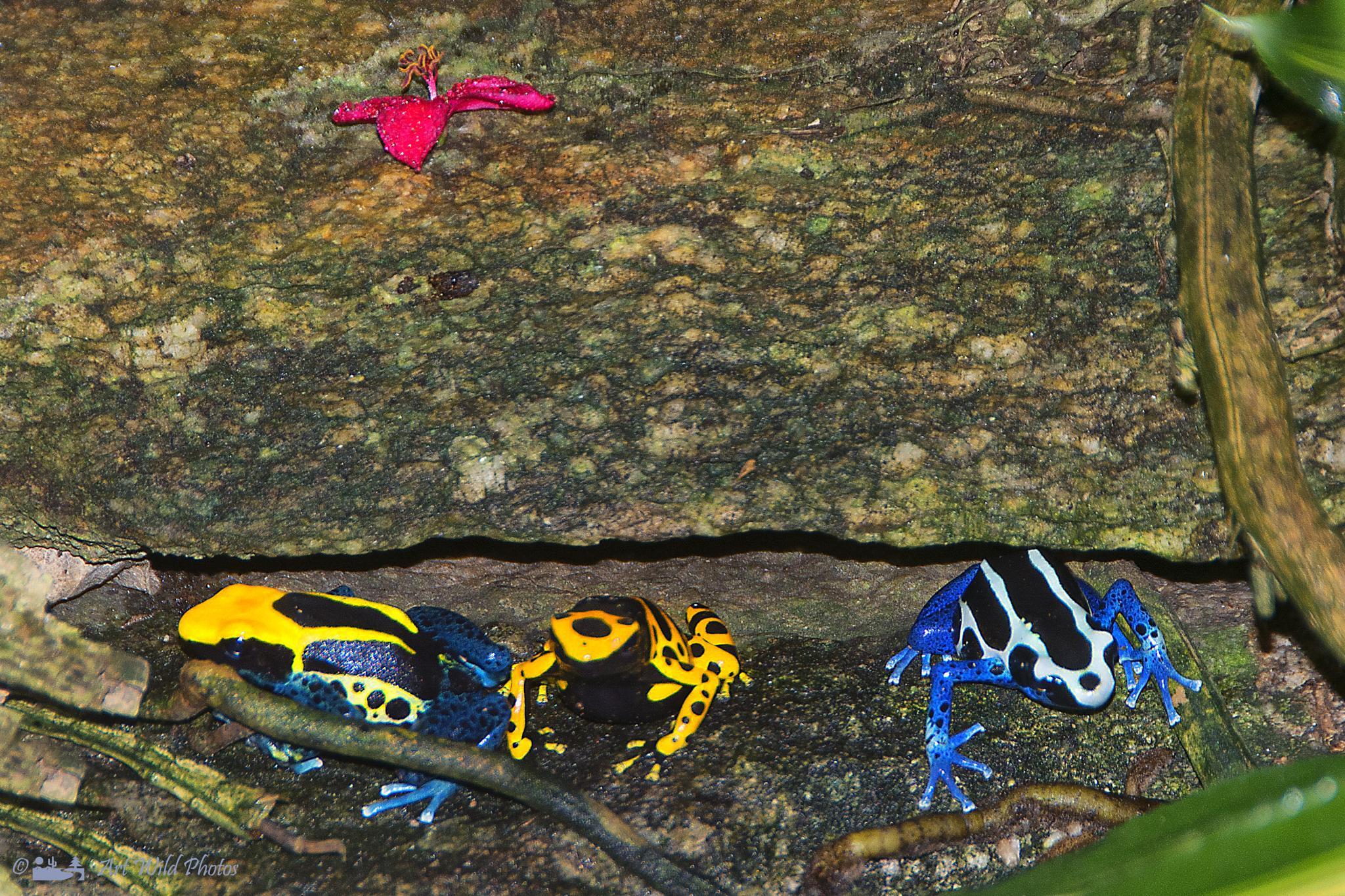 Dart Frogs gathering by artwildphotos