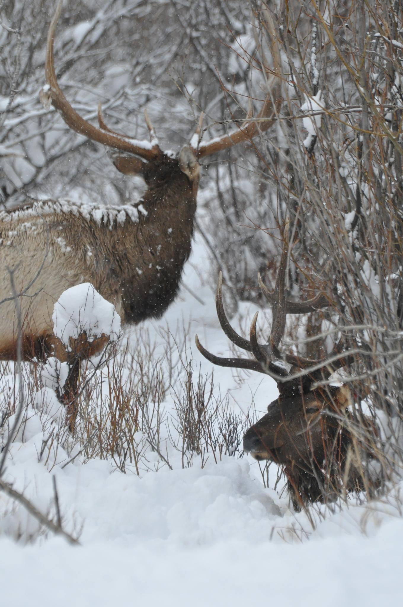 Snow and Elk by artwildphotos