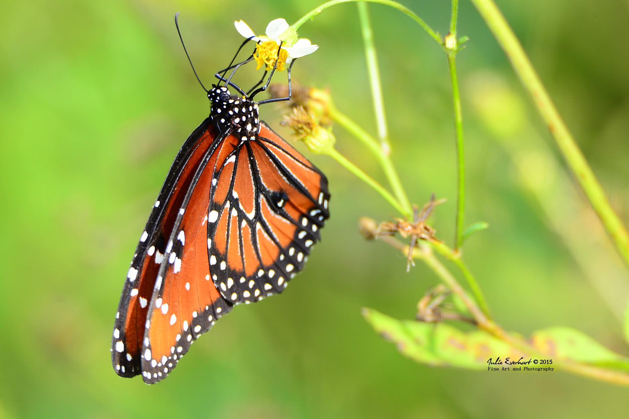 Queen Butterfly by julev69