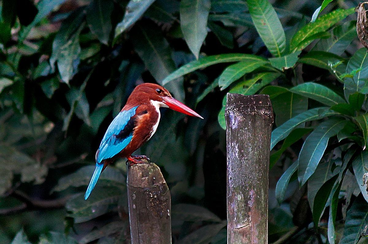Kingfisher by Suman Panjal