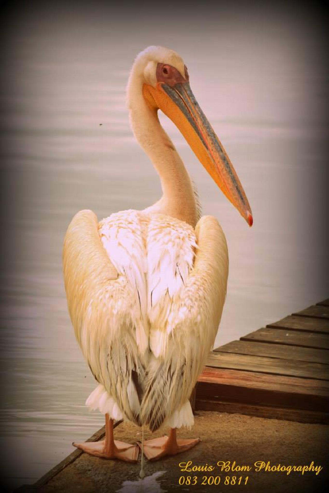 Pelican by Louis Blom Photography
