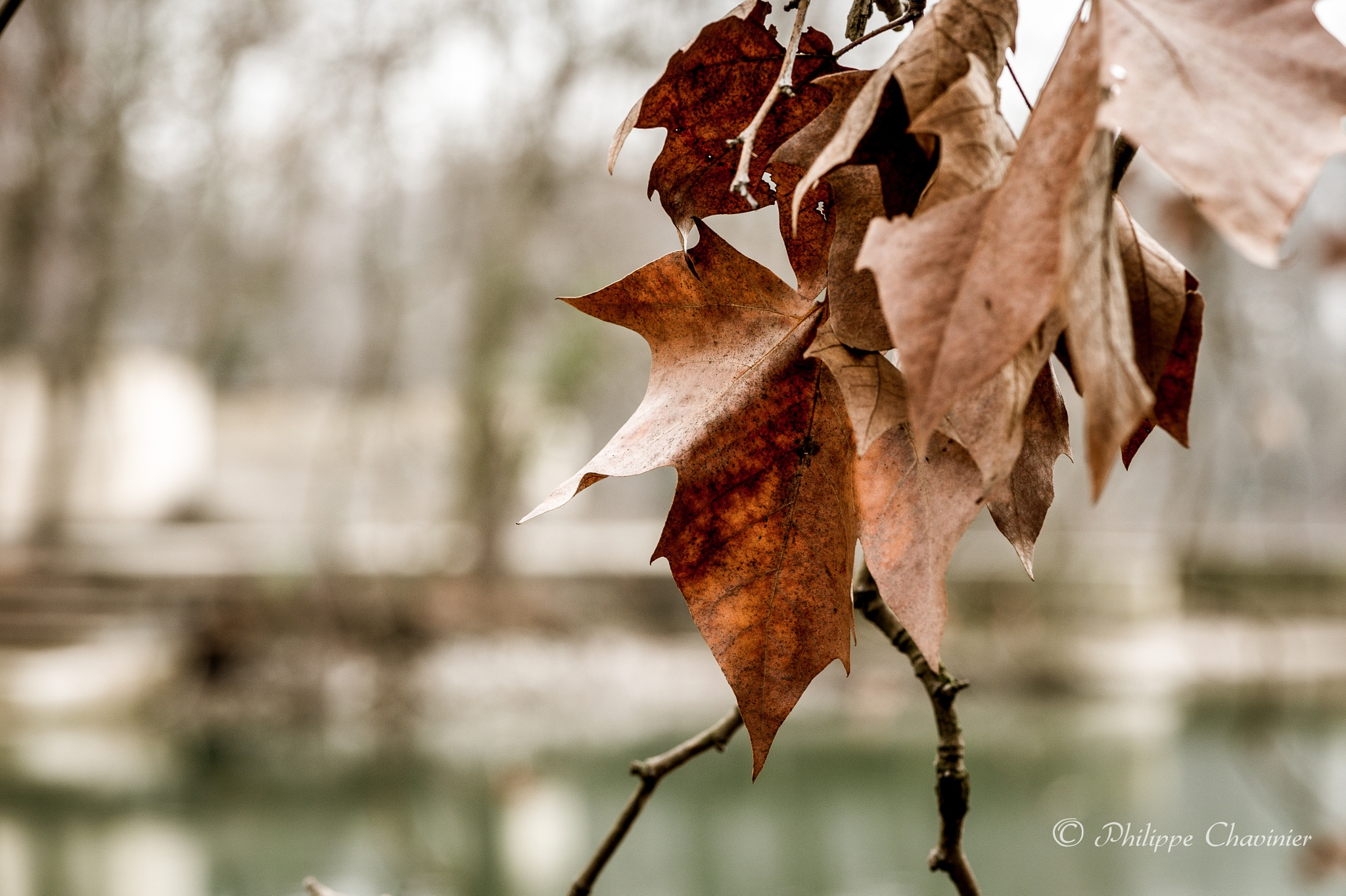 Winter leaves by Philippe Chavinier