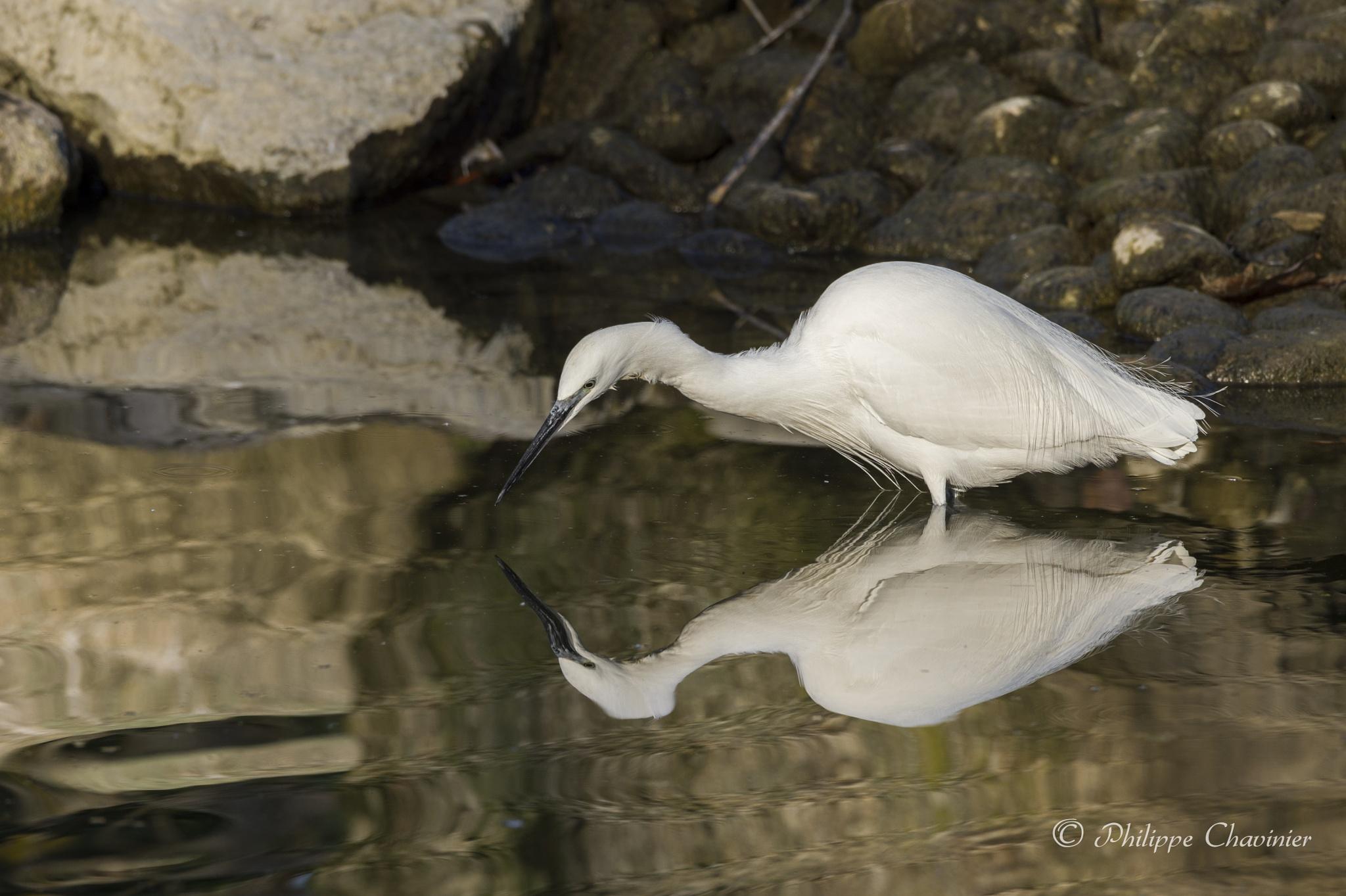 Egret by Philippe Chavinier