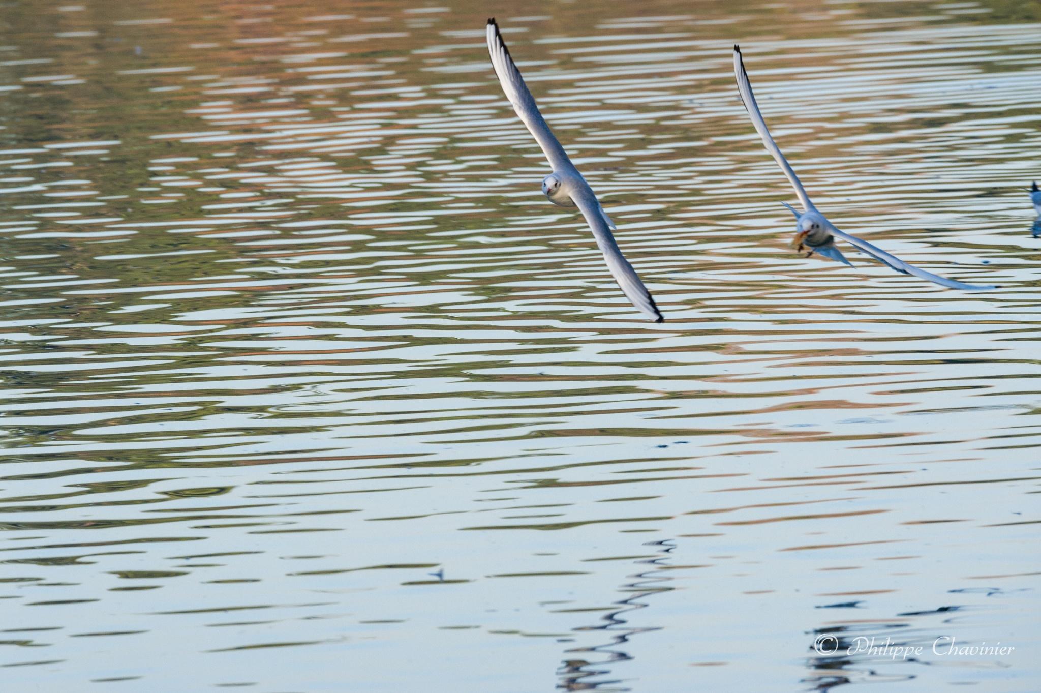 Seagulls sky battle by Philippe Chavinier