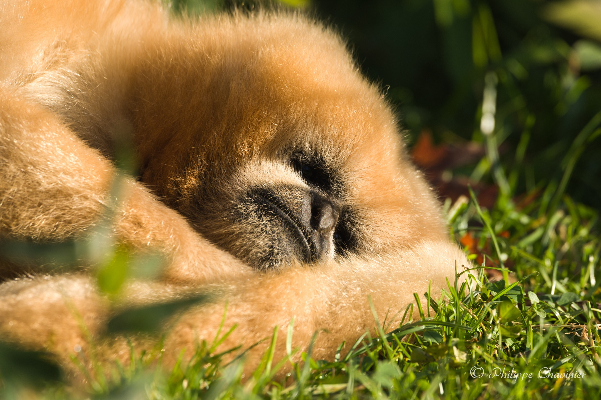White cheeks gibbon having a rest and warming itself under winter sun by Philippe Chavinier