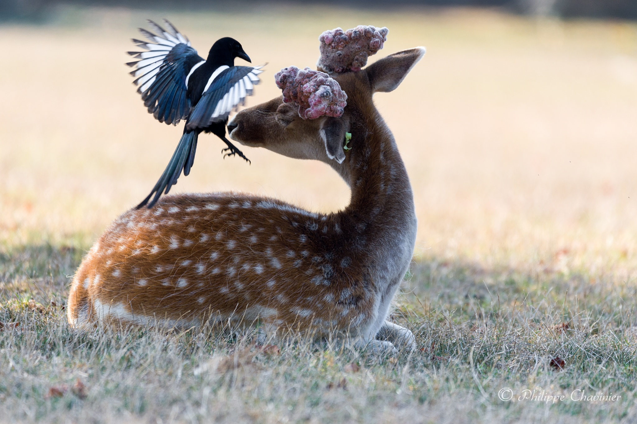 Deer and magpie by Philippe Chavinier