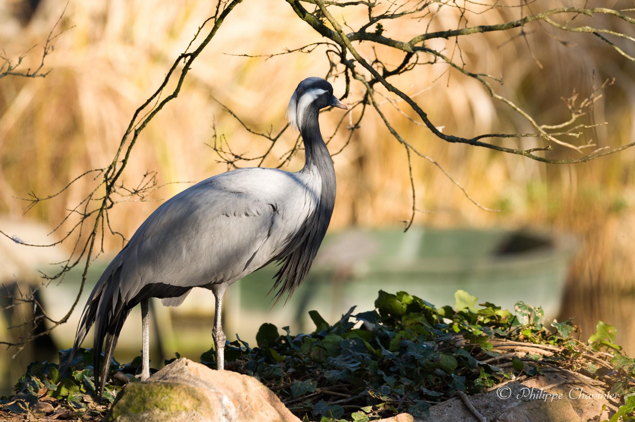 Demoiselle crane by Philippe Chavinier