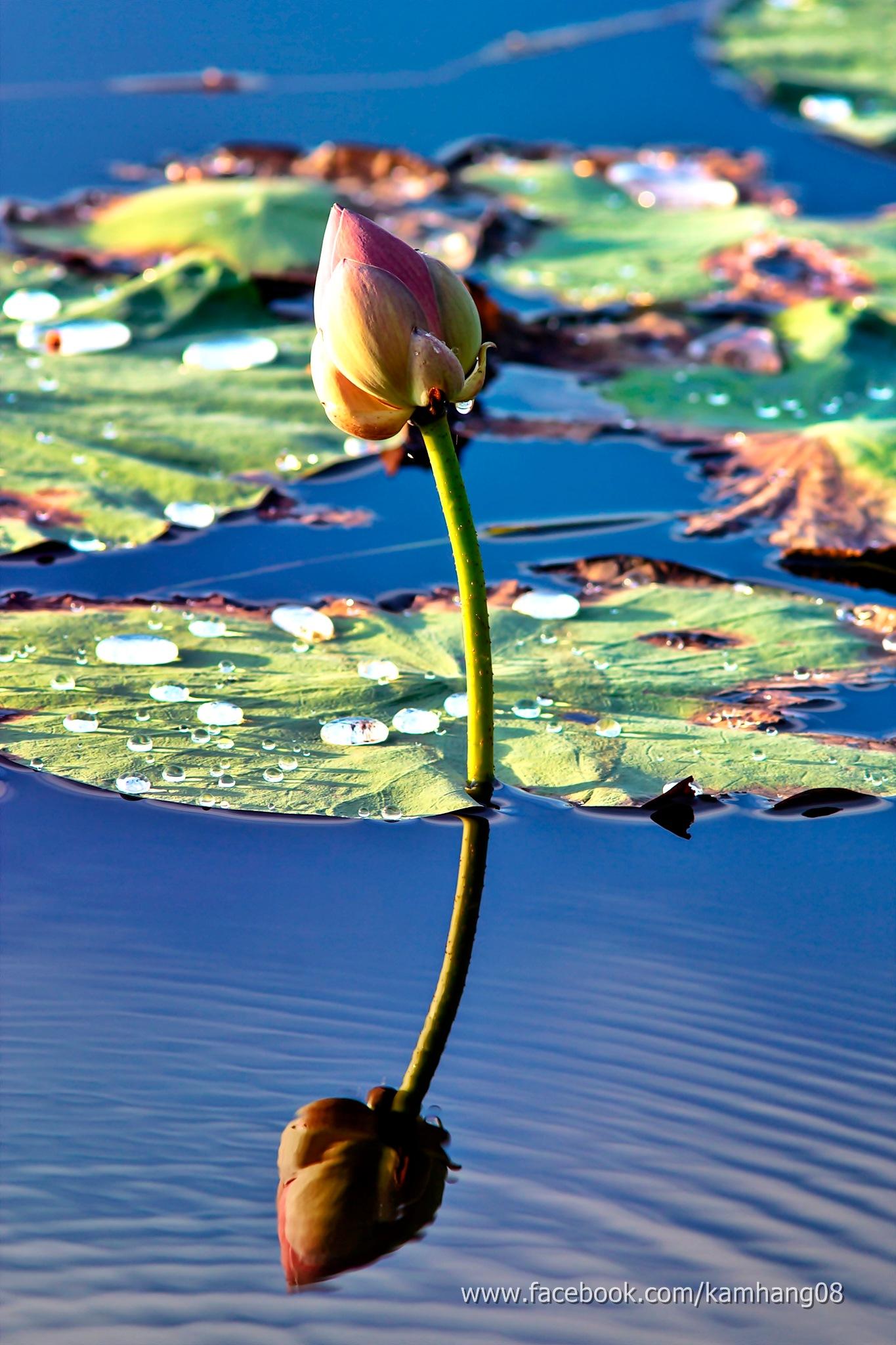 Lotus by kamhang kungquang