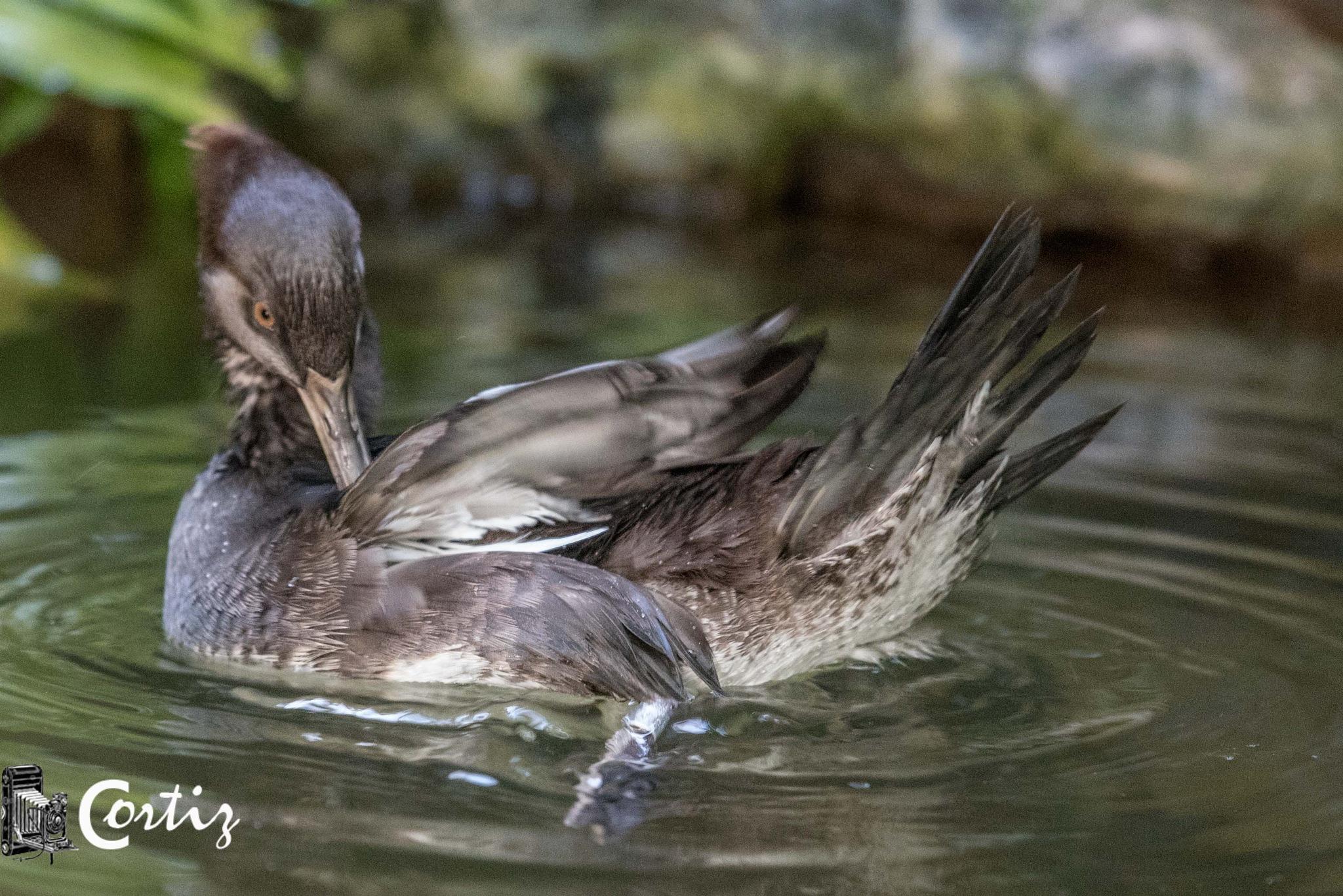 Florida Duck by titco62