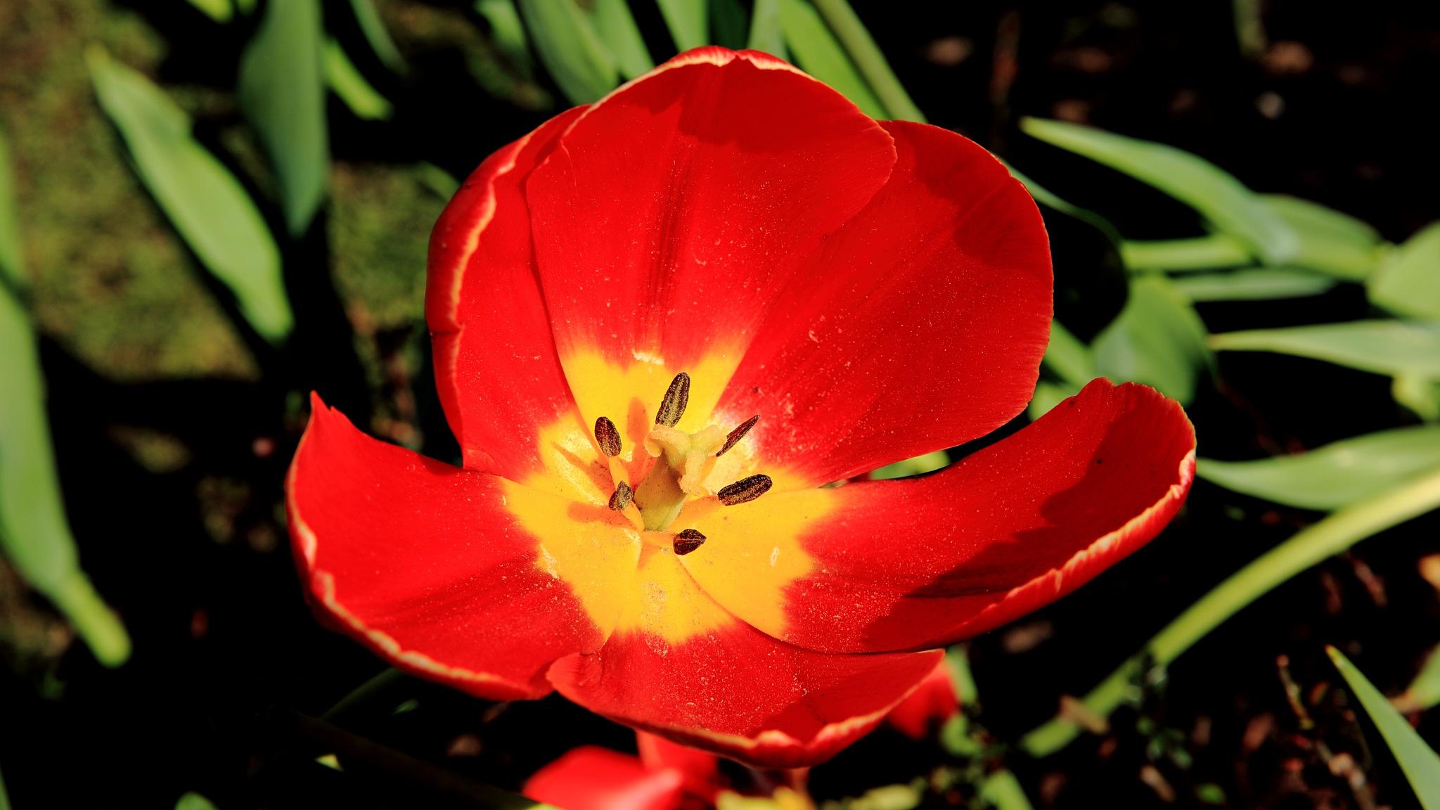 Tulips by leecj0129