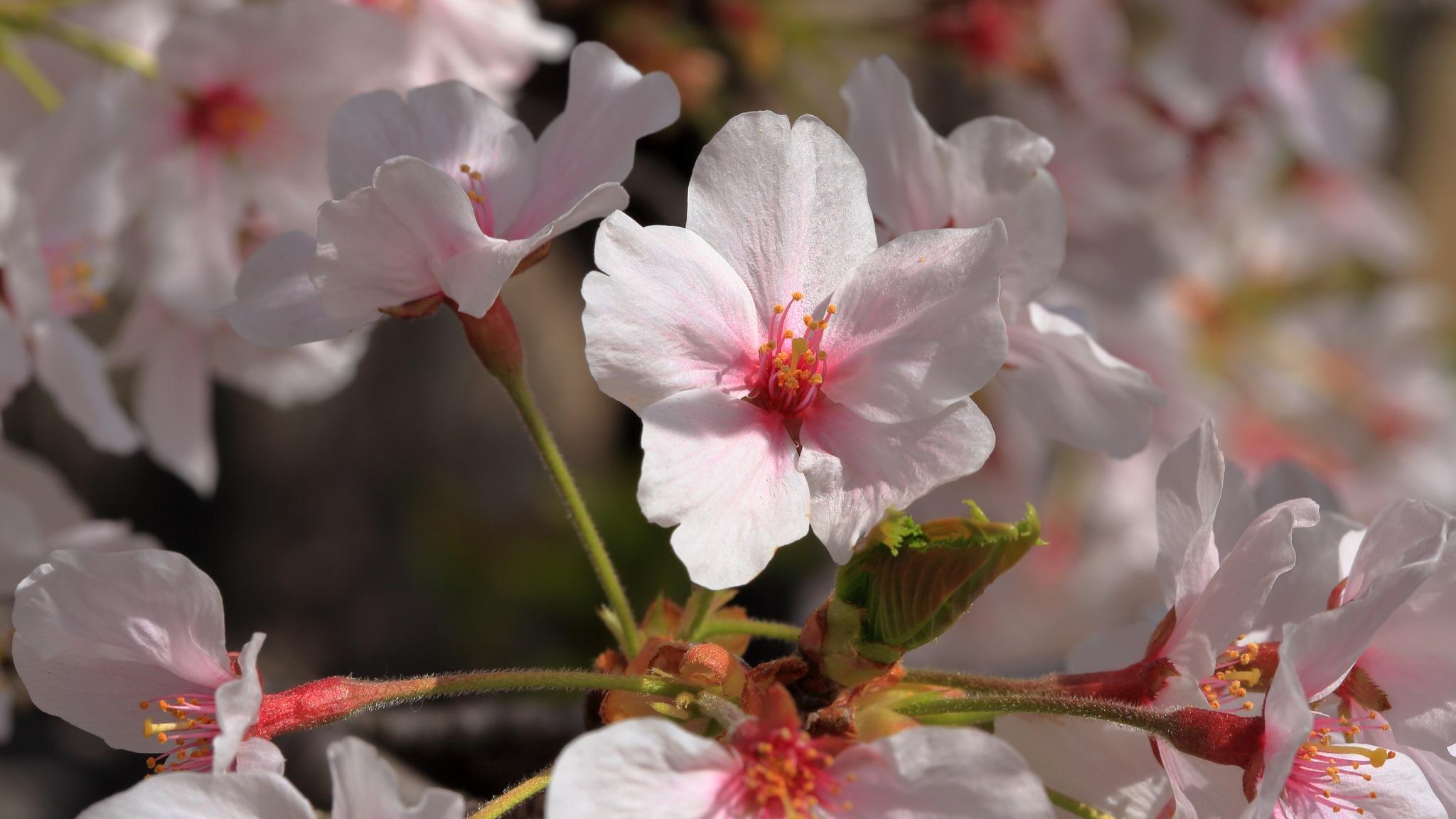 Cherry blossom by leecj0129