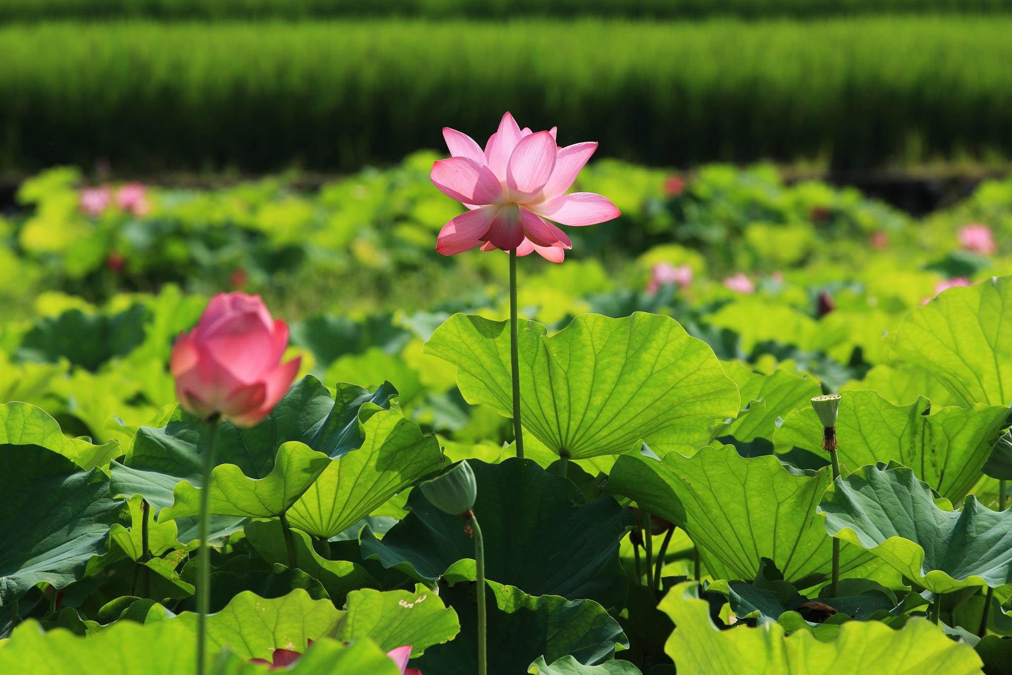 nelumbo nucifera flower by leecj0129