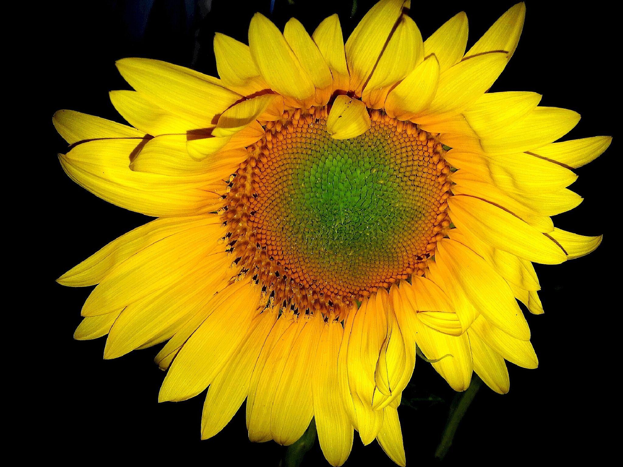Sunflower in the dark by Cristiana