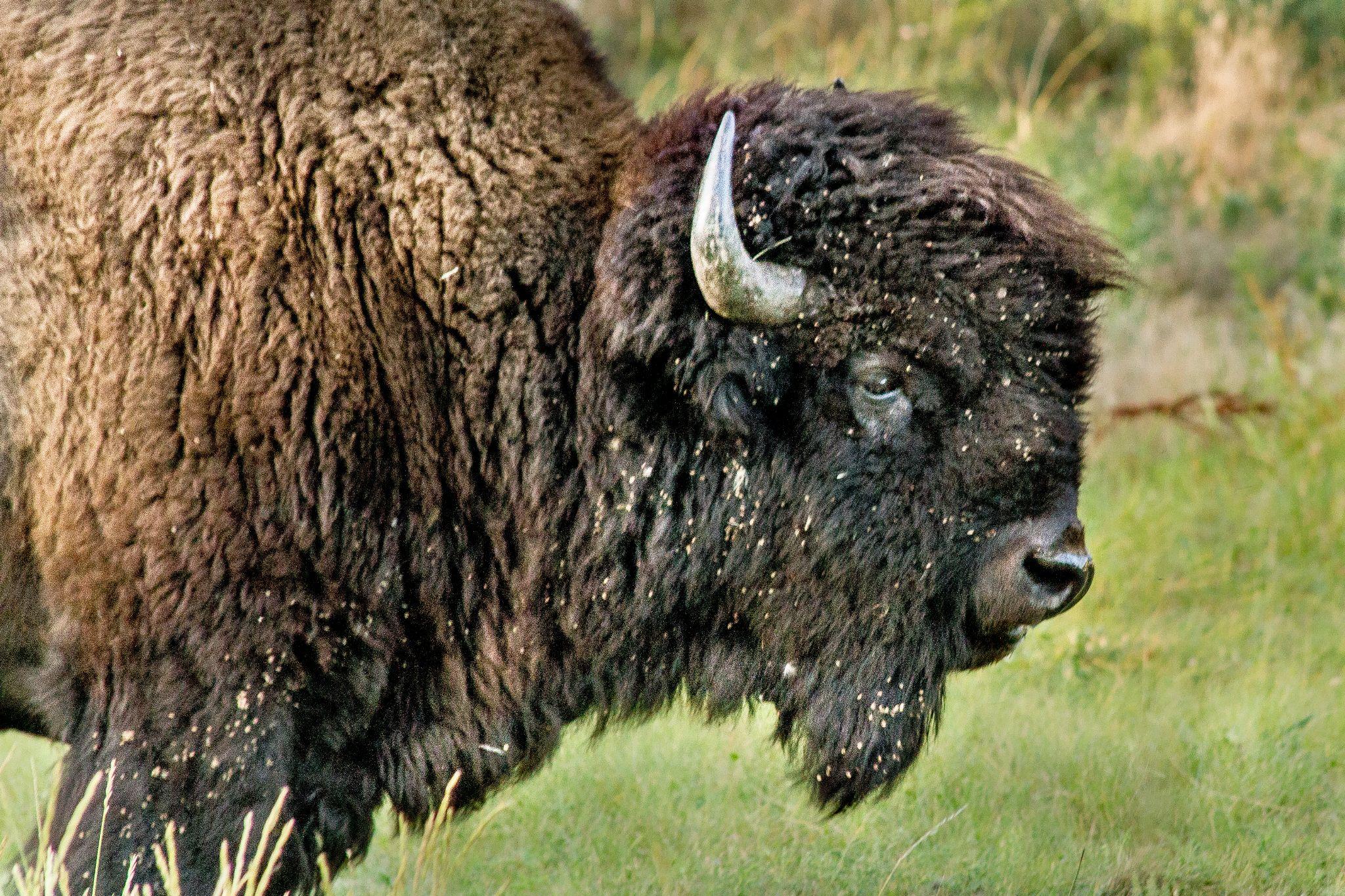 hello buffalo by ginalouisenelson