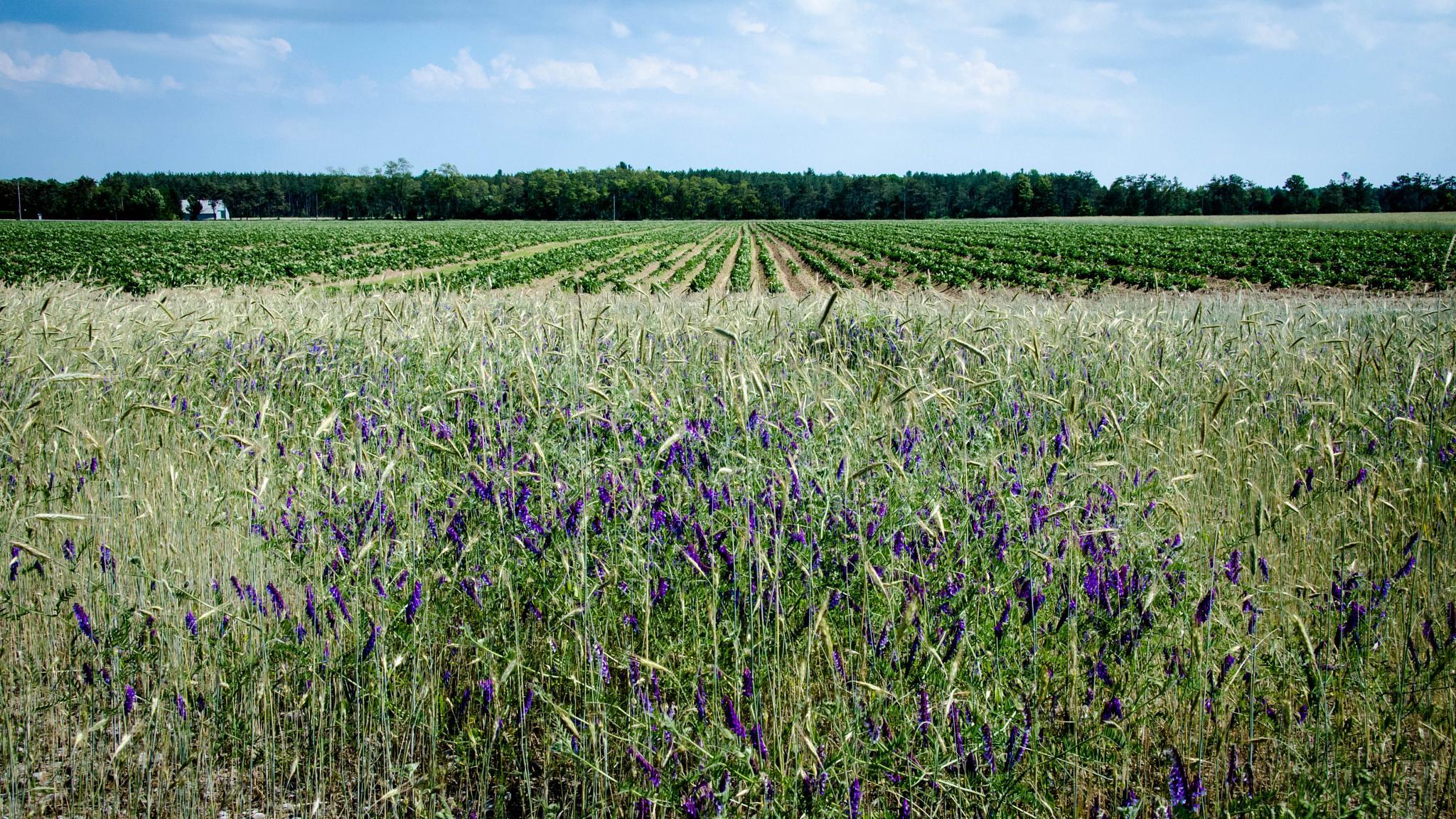 farmer's field by sheranator