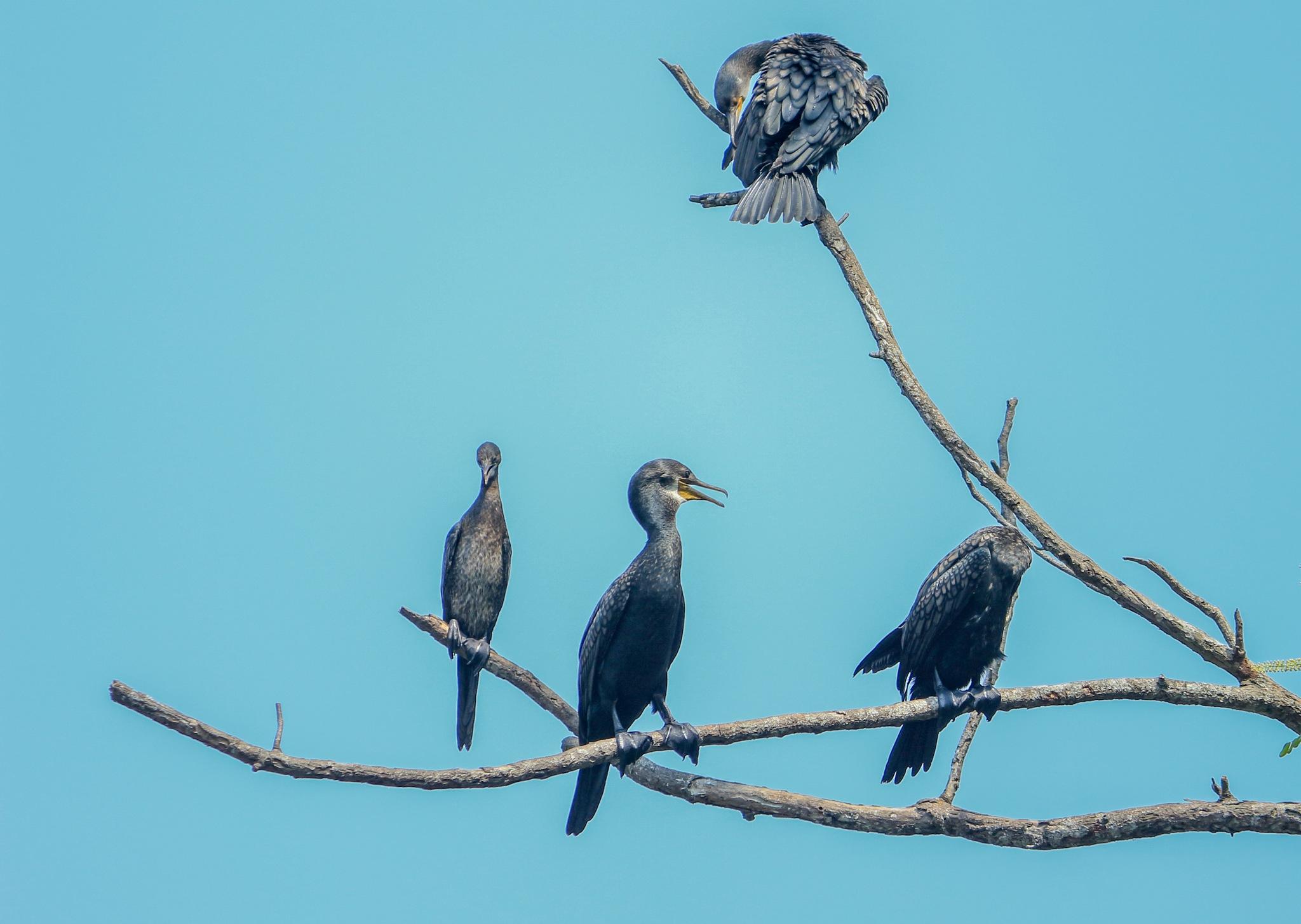 Great Cormorant by HABEEB RAHMAN