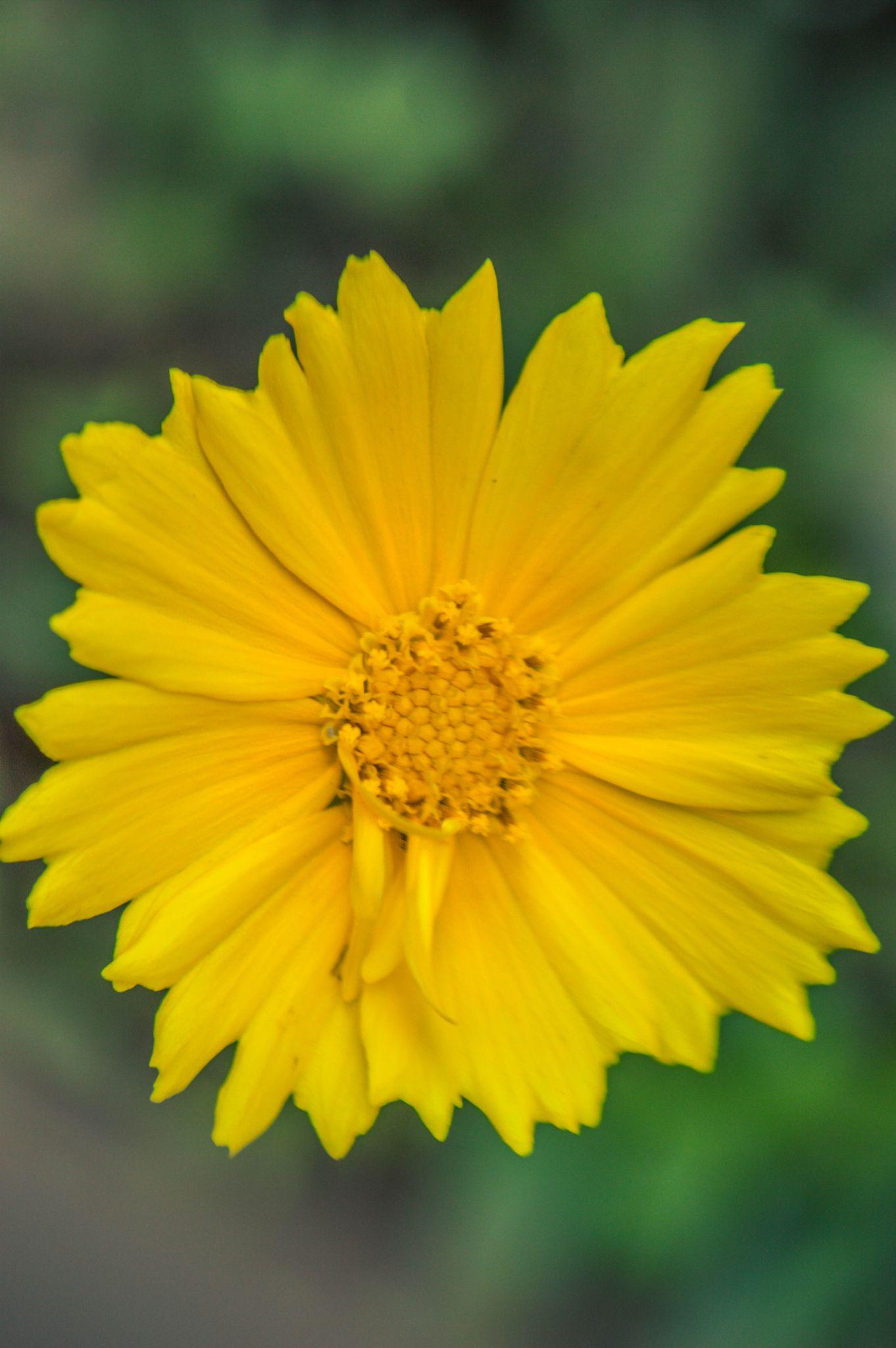 Cute Yellow Flower by HABEEB RAHMAN