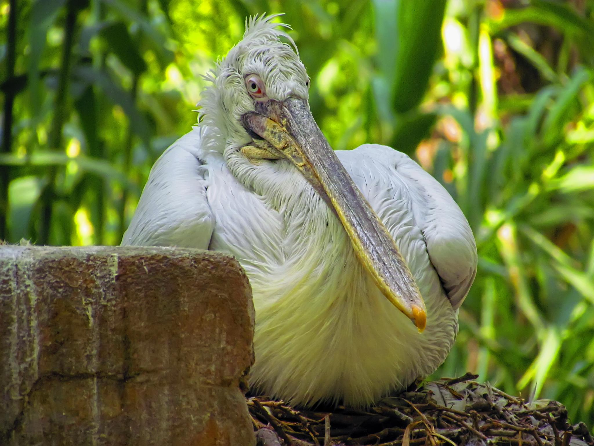 The Pelican by rubem.campos