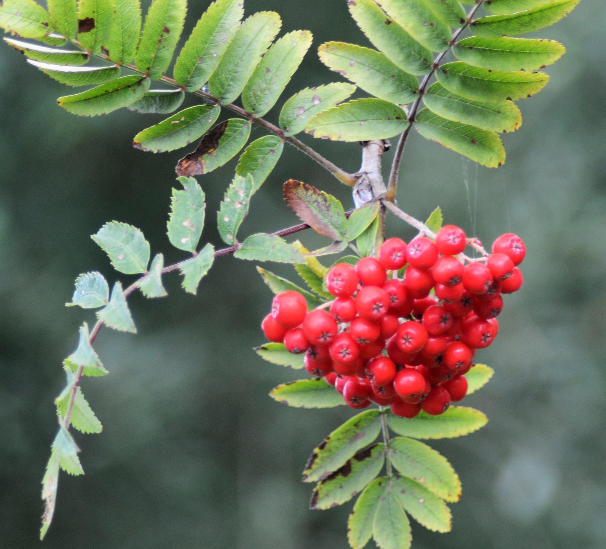 Red Berries by declan delaney