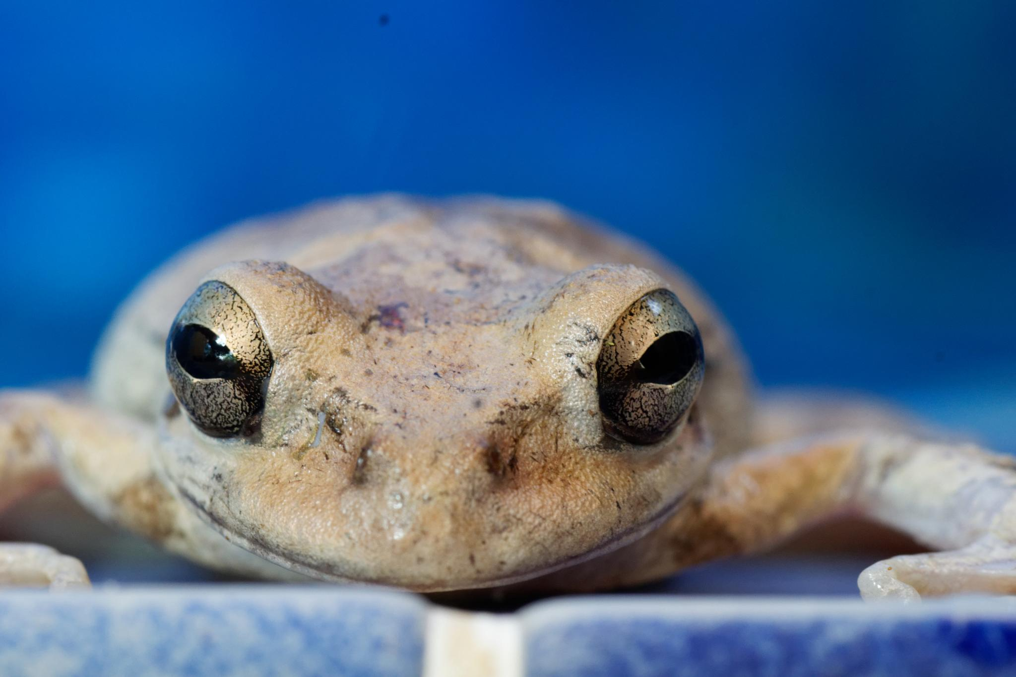 Smiling frog by Scottelb