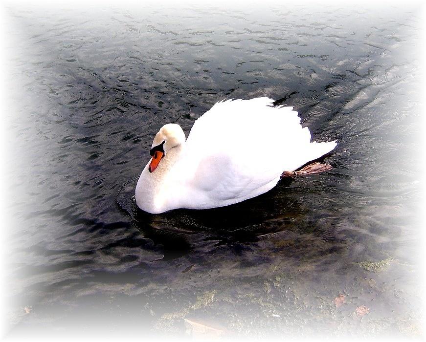 French swan by Jill Bartlett