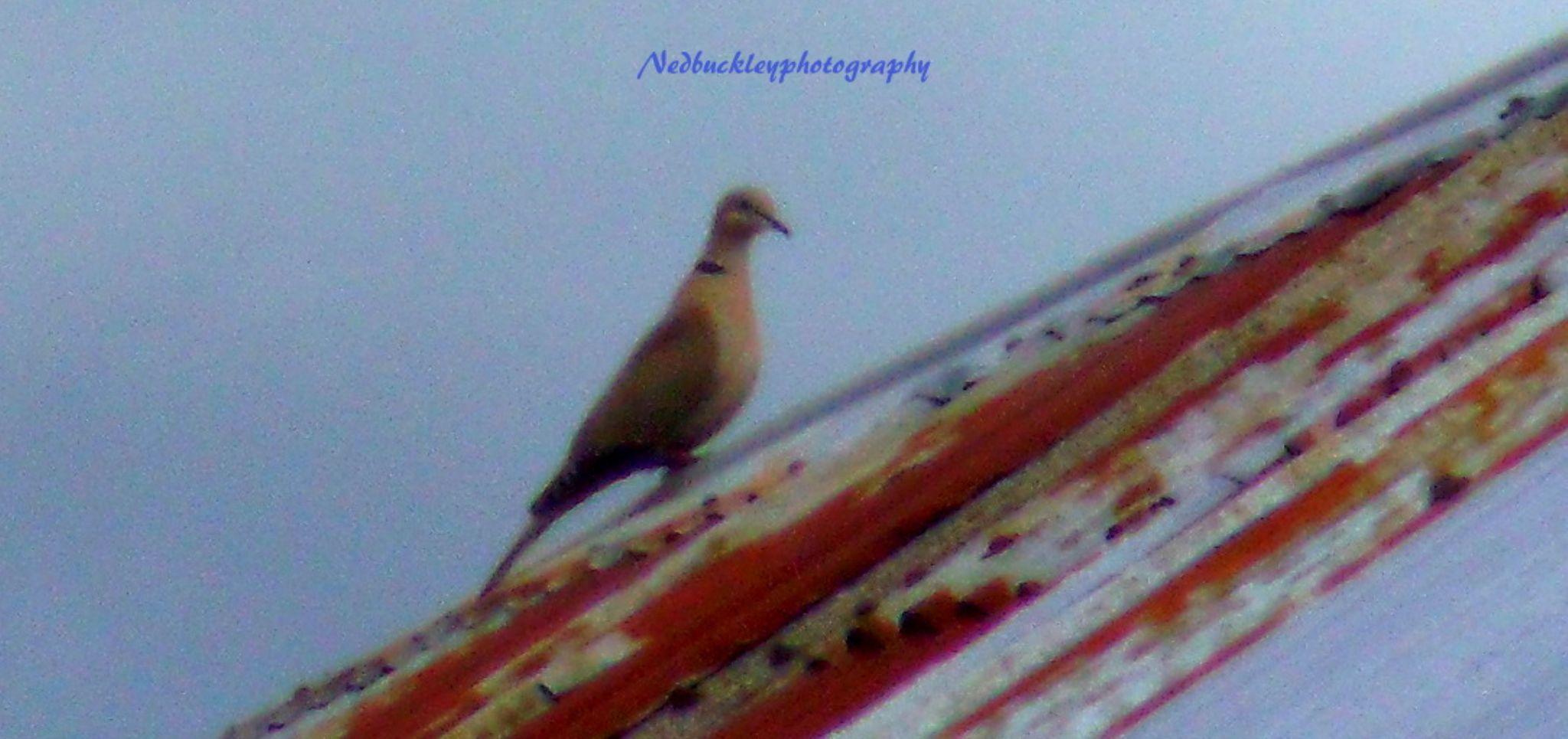 Bird on a tin roof  by Nedbuckleyphotography