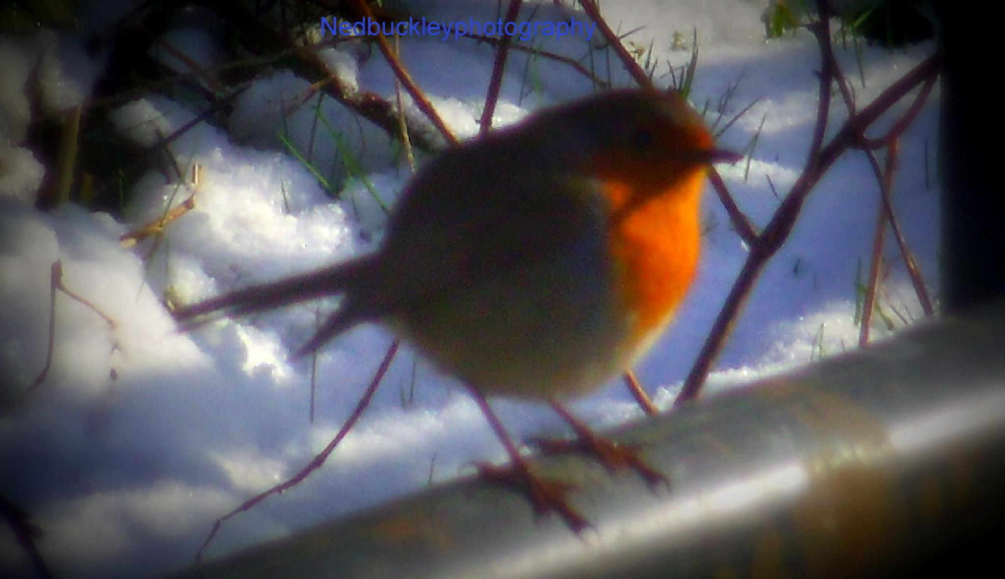 Irish Robin  by Nedbuckleyphotography