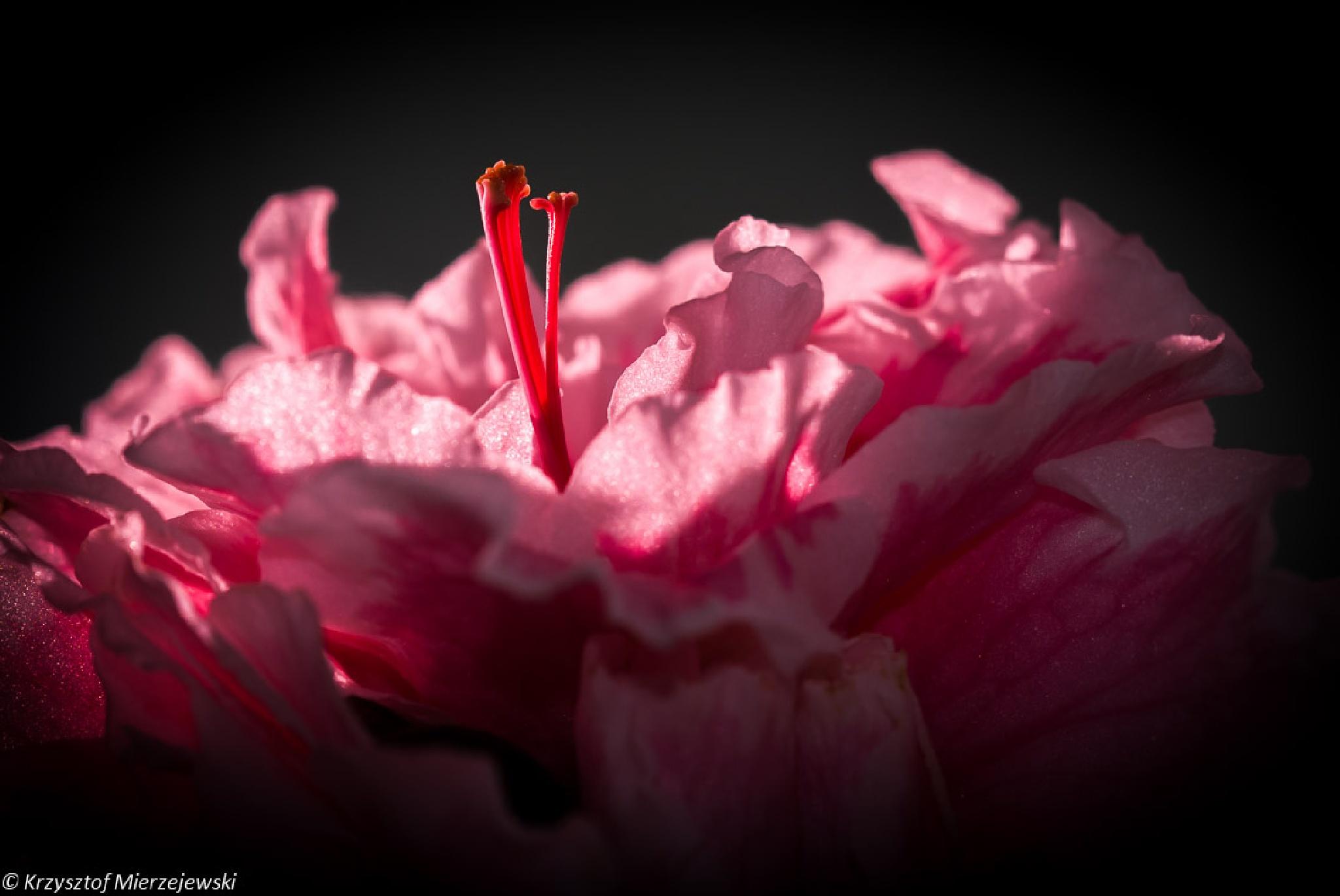 Pink flower by Krzysztof Mierzejewski