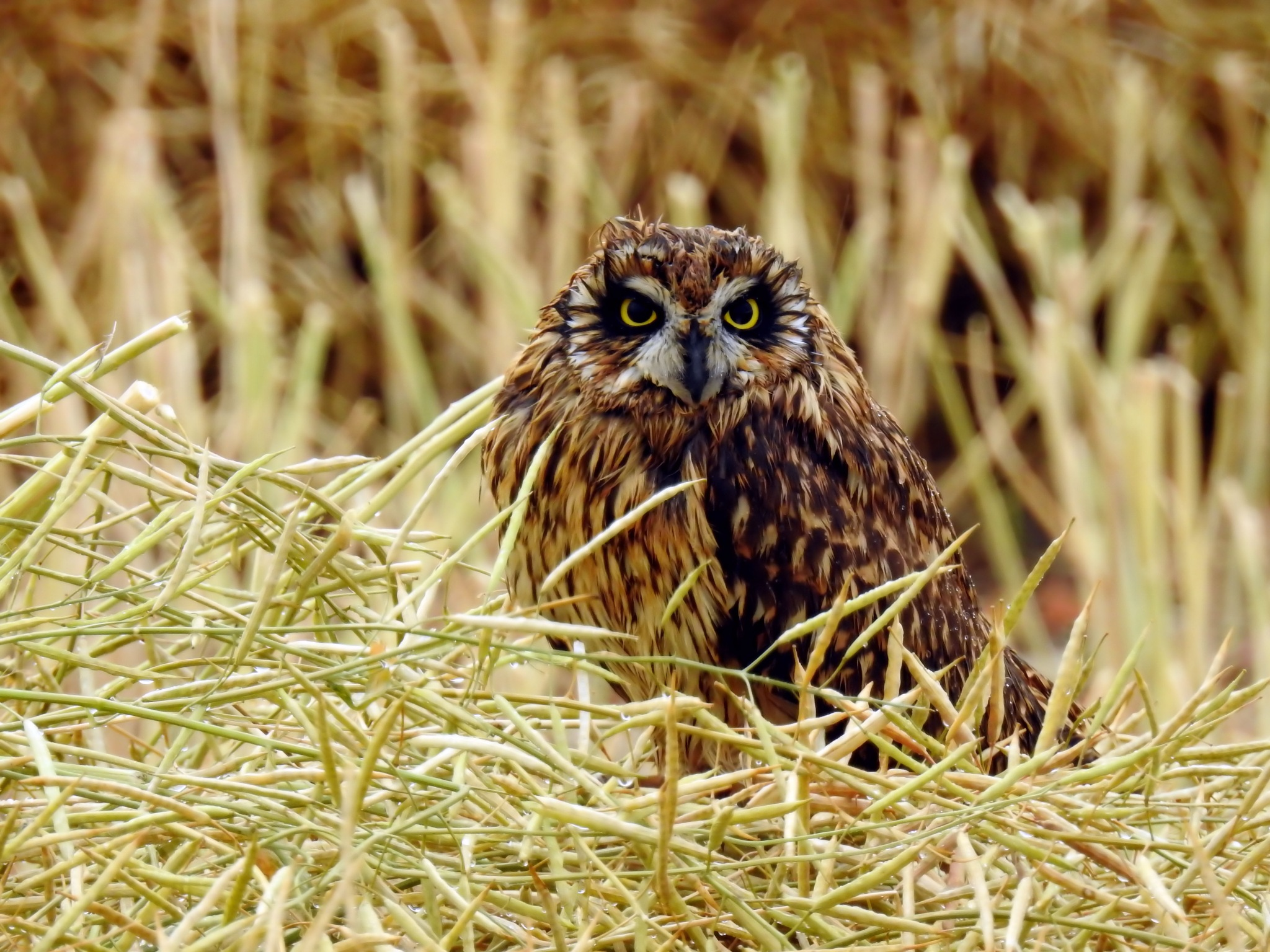 Irritated Saw Whet Owl by tricialpat